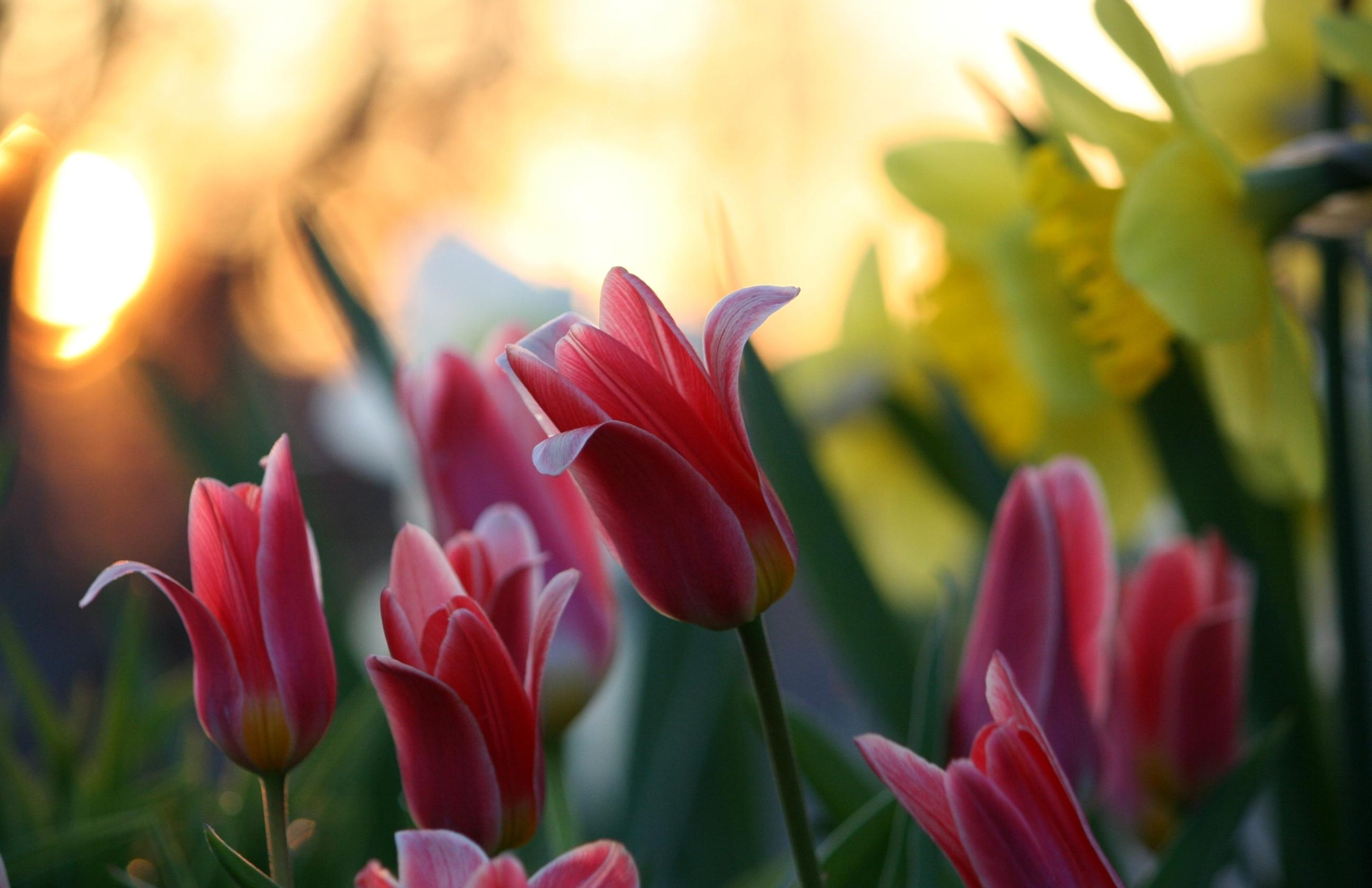 127930 Заставки и Обои Нарциссы на телефон. Скачать Цветы, Тюльпаны, Нарциссы, Зелень, Крупный План, Блик картинки бесплатно
