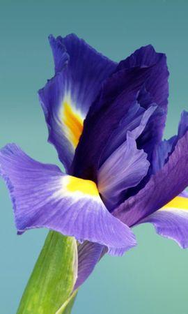 15175 descargar fondo de pantalla Plantas, Flores, Iris: protectores de pantalla e imágenes gratis