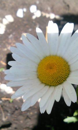 7072 скачать обои Растения, Цветы, Ромашки - заставки и картинки бесплатно