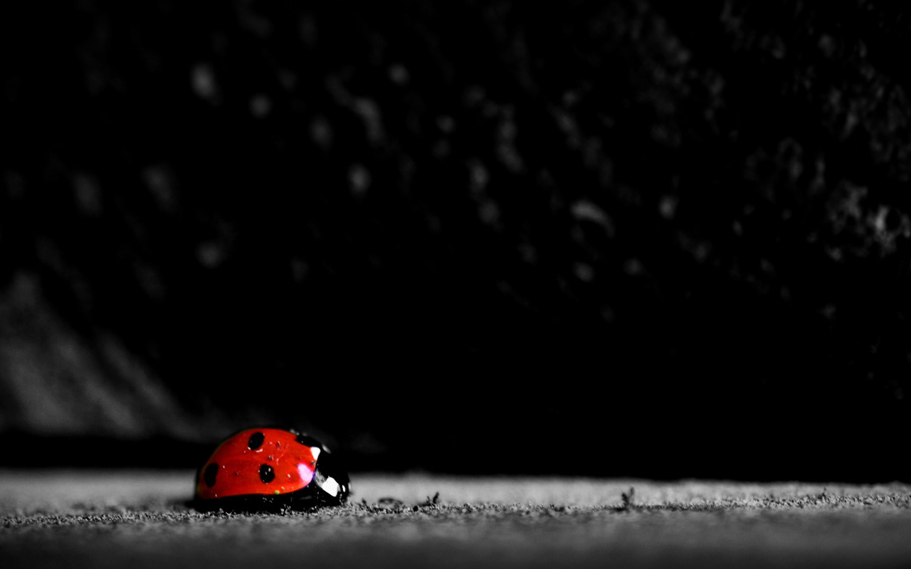 21837 download wallpaper Insects, Ladybugs screensavers and pictures for free