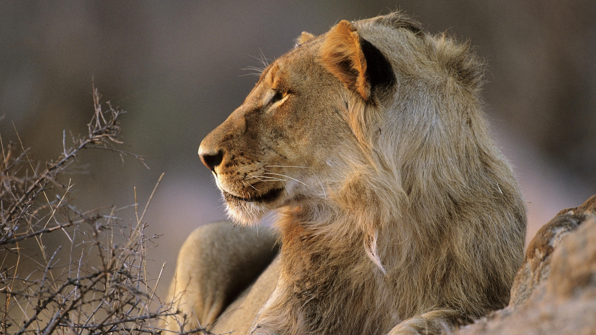6471 download wallpaper Animals, Lions screensavers and pictures for free