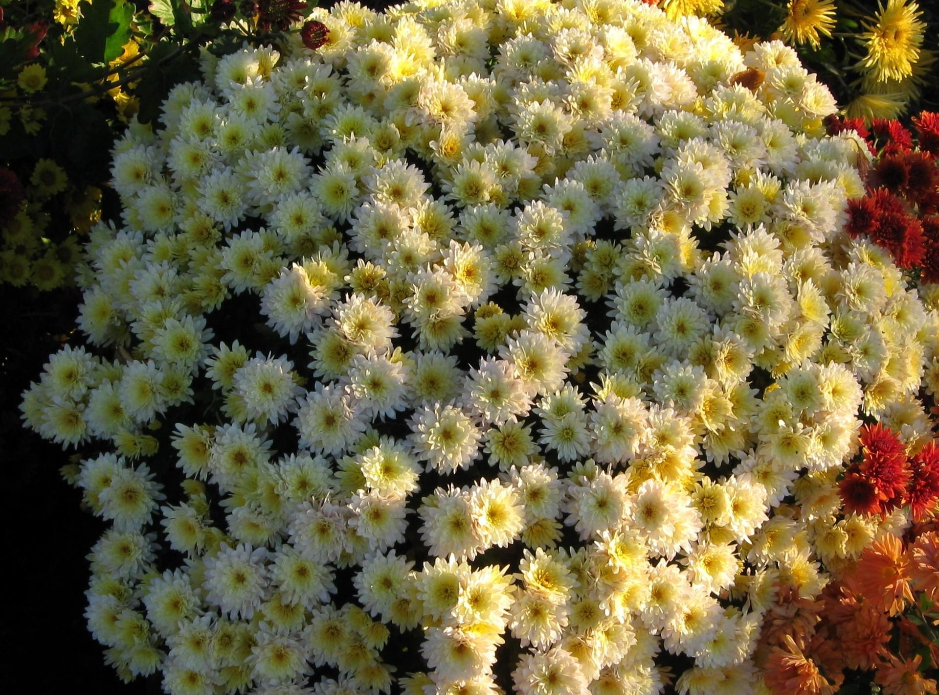 133844 download wallpaper Flowers, Flower Bed, Flowerbed, Ball, Garden, Chrysanthemum screensavers and pictures for free