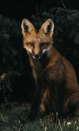 125639 download wallpaper Animals, Fox, Forest, Grass screensavers and pictures for free