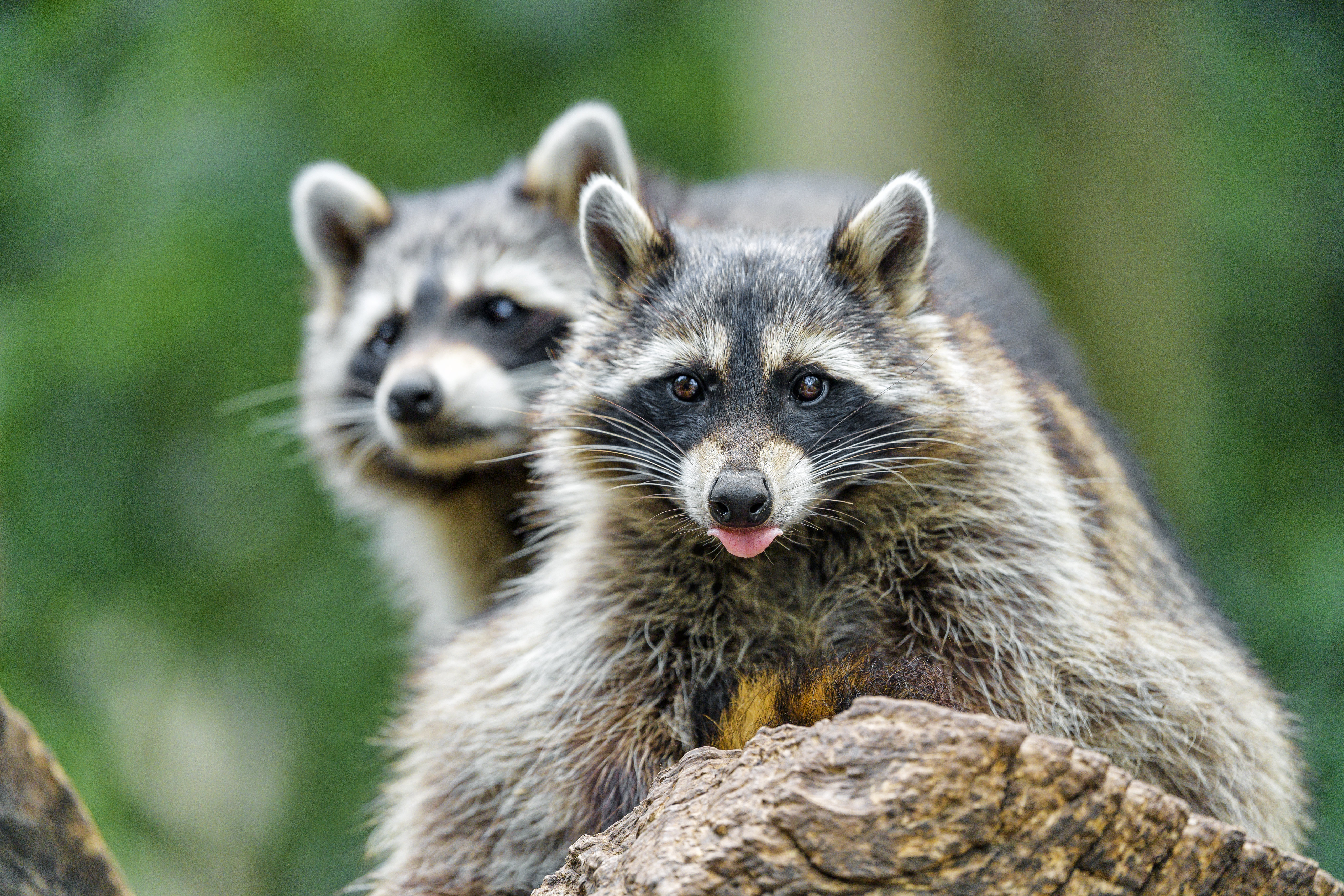 67841 download wallpaper Animals, Raccoon, Animal, Protruding Tongue, Tongue Stuck Out, Muzzle screensavers and pictures for free