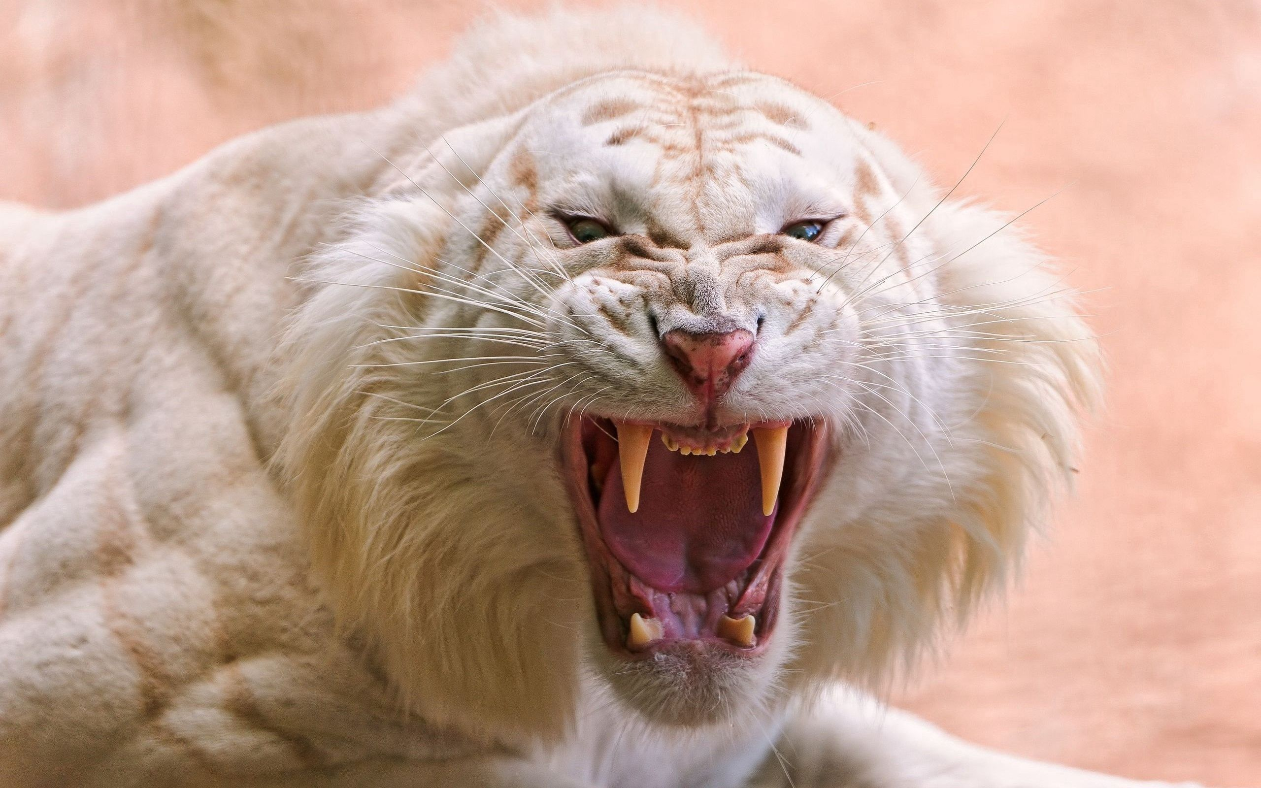 51925 download wallpaper Animals, Tiger, Striped, Grin, Anger screensavers and pictures for free