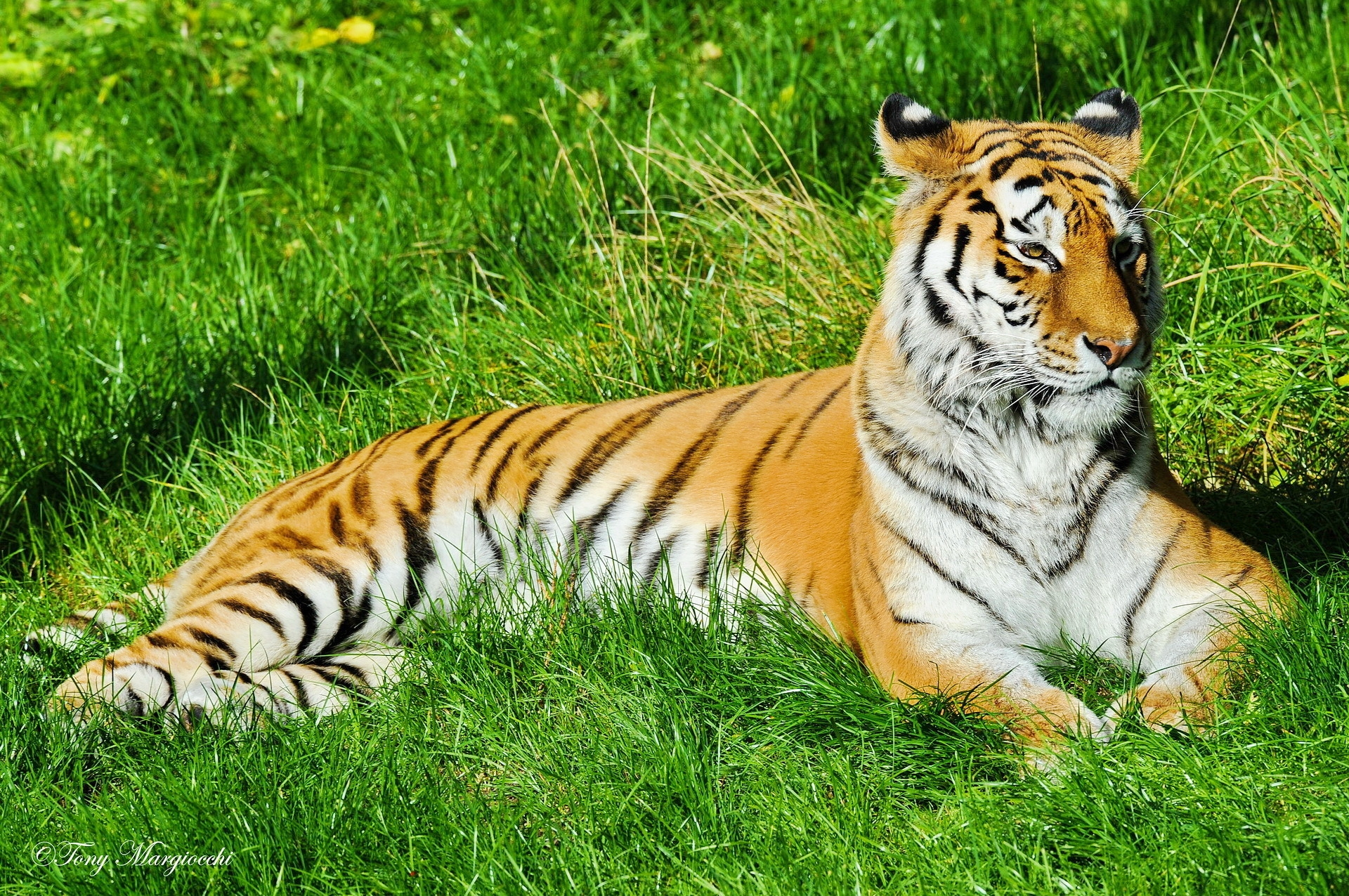 52929 download wallpaper Animals, Tiger, Grass, To Lie Down, Lie, Predator, Watch, To Watch screensavers and pictures for free