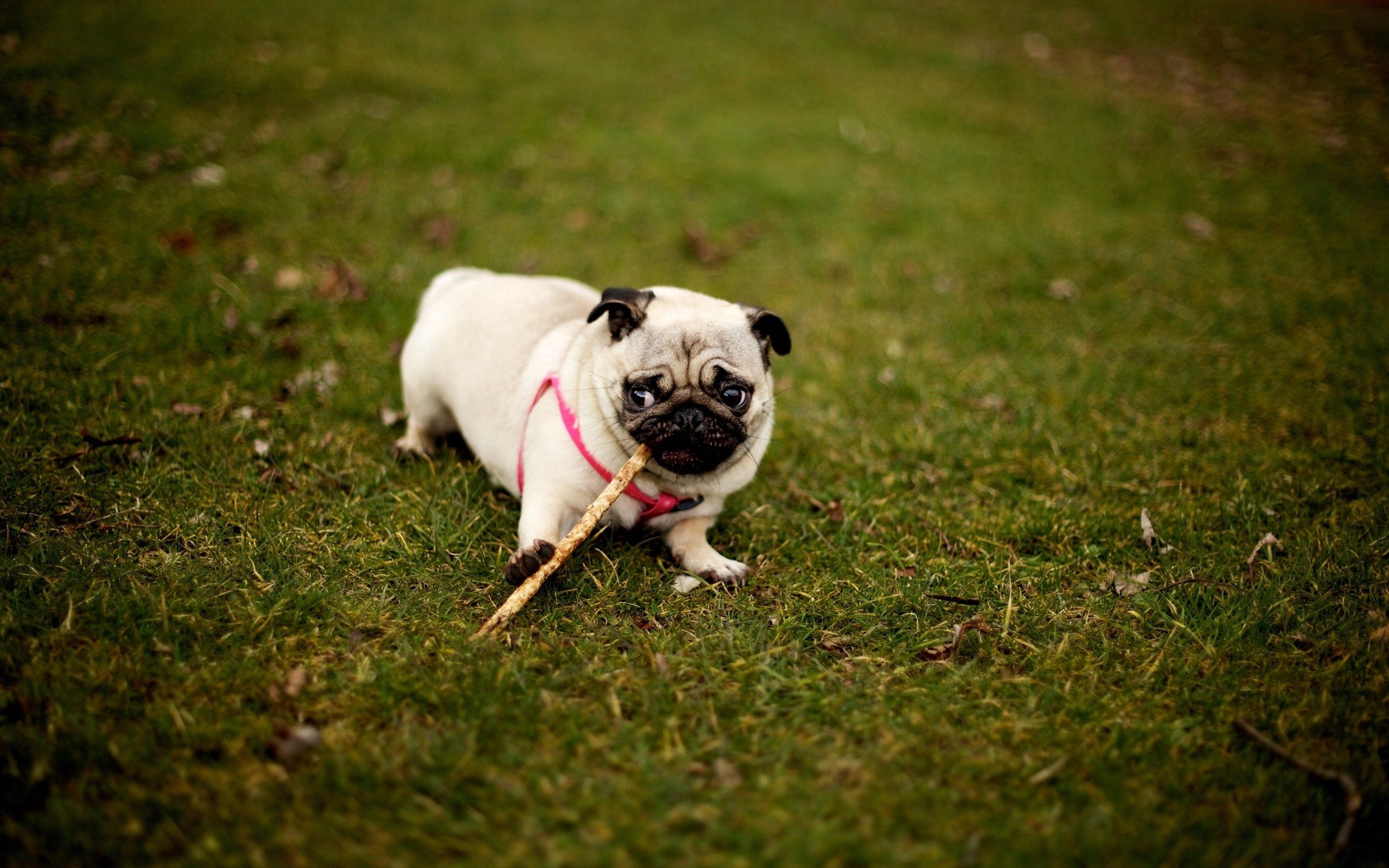 77988 Screensavers and Wallpapers Pug for phone. Download Animals, Grass, Sit, Dog, Stroll, Collar, Pug pictures for free