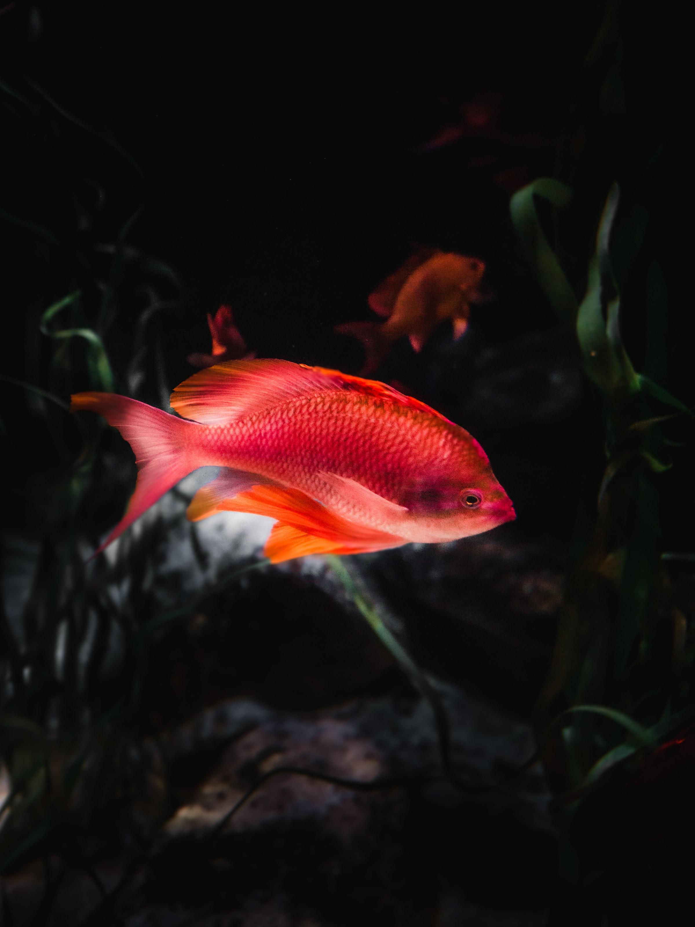 140681 Screensavers and Wallpapers Aquarium for phone. Download Animals, Water, Aquarium, Fish, Orange Fish pictures for free