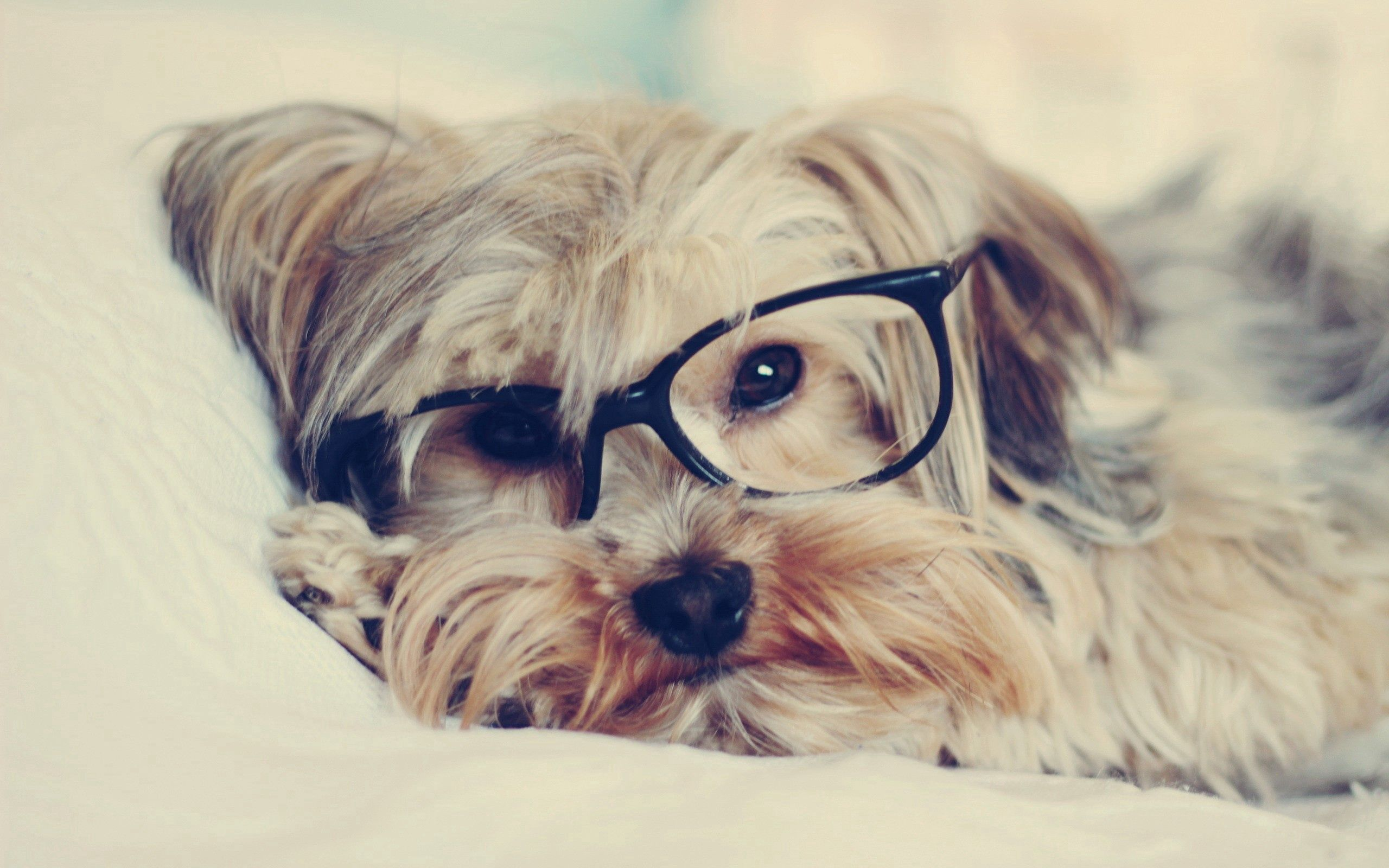59747 download wallpaper Animals, Dog, Muzzle, Yorkshire Terrier, Glasses, Spectacles screensavers and pictures for free