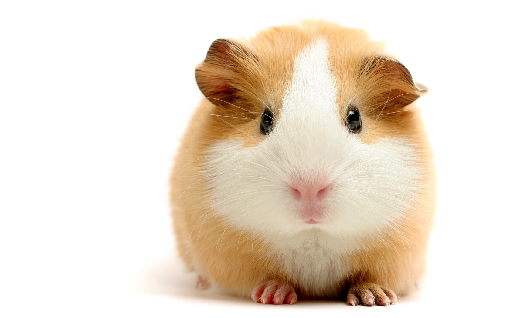 15951 download wallpaper Animals, Hamsters, Rodents screensavers and pictures for free