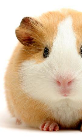 15951 baixar papel de parede Animais, Hamsters, Roedores - protetores de tela e imagens gratuitamente