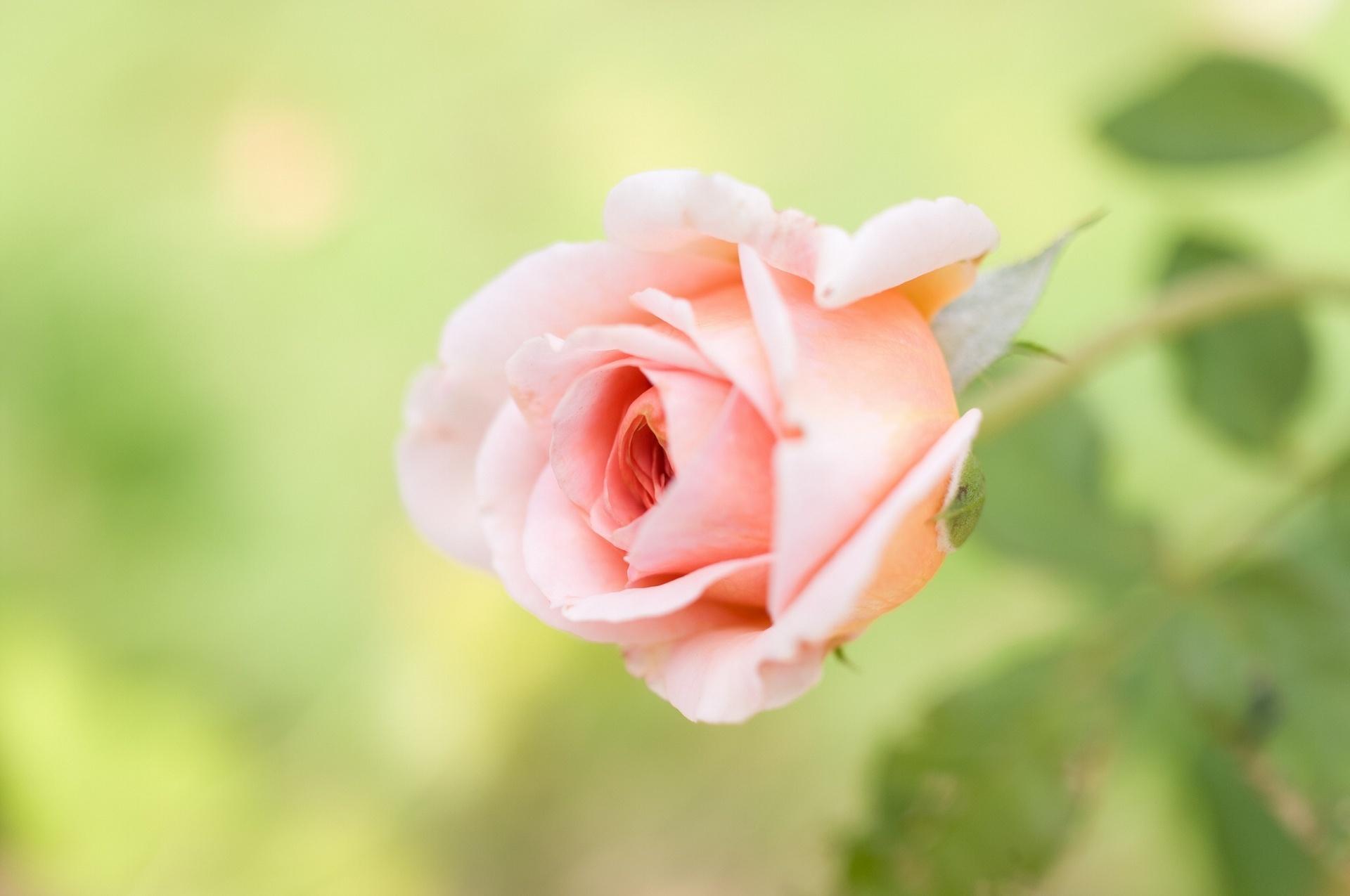 21192 télécharger le fond d'écran Plantes, Fleurs, Roses - économiseurs d'écran et images gratuitement