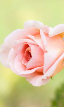 21192 baixar papel de parede Plantas, Flores, Rosas - protetores de tela e imagens gratuitamente