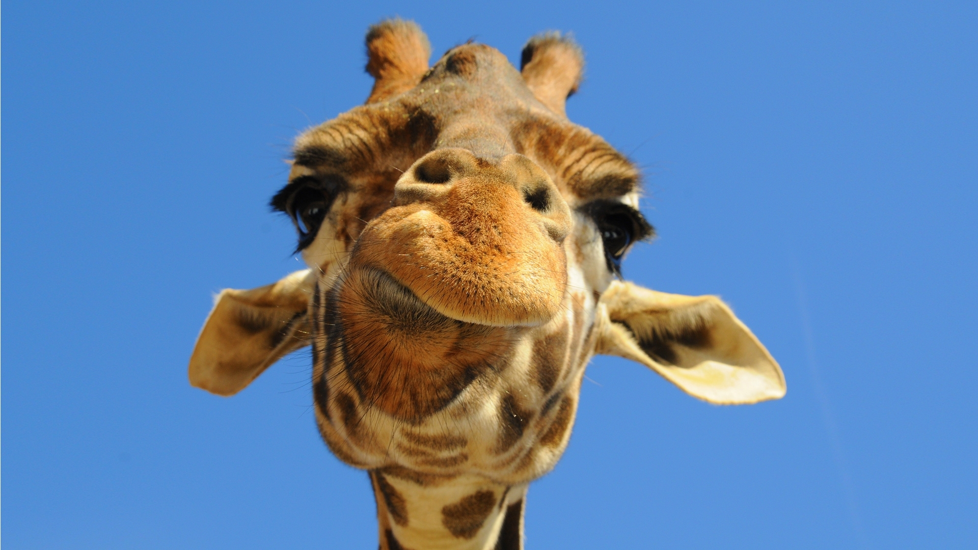 900 download wallpaper Funny, Animals, Giraffes screensavers and pictures for free