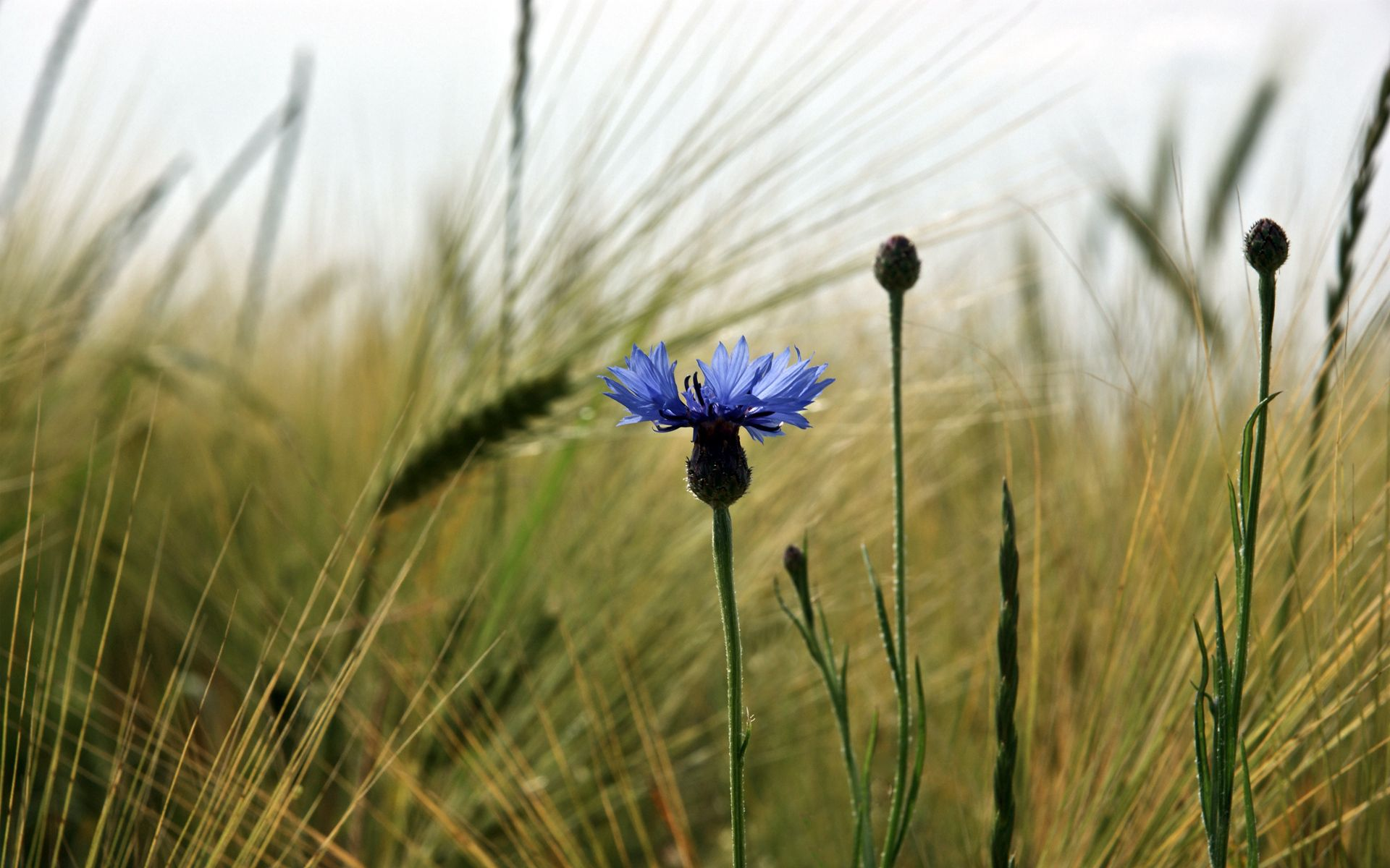 136136 download wallpaper Flowers, Cornflower, Flower, Field, Ears, Spikes, Nature screensavers and pictures for free