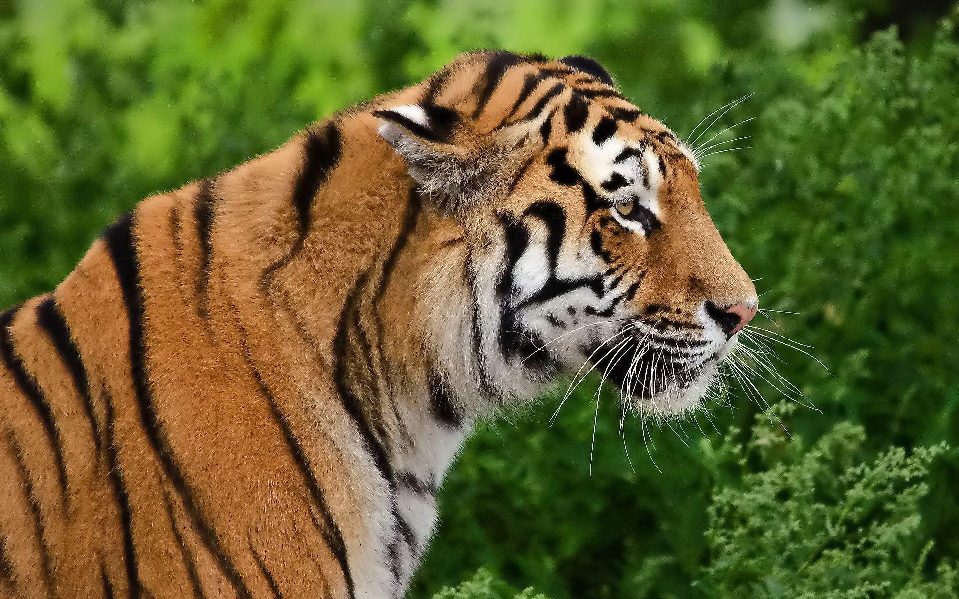 109139 скачать обои Животные, Тигр, Профиль, Хищник, Морда - заставки и картинки бесплатно