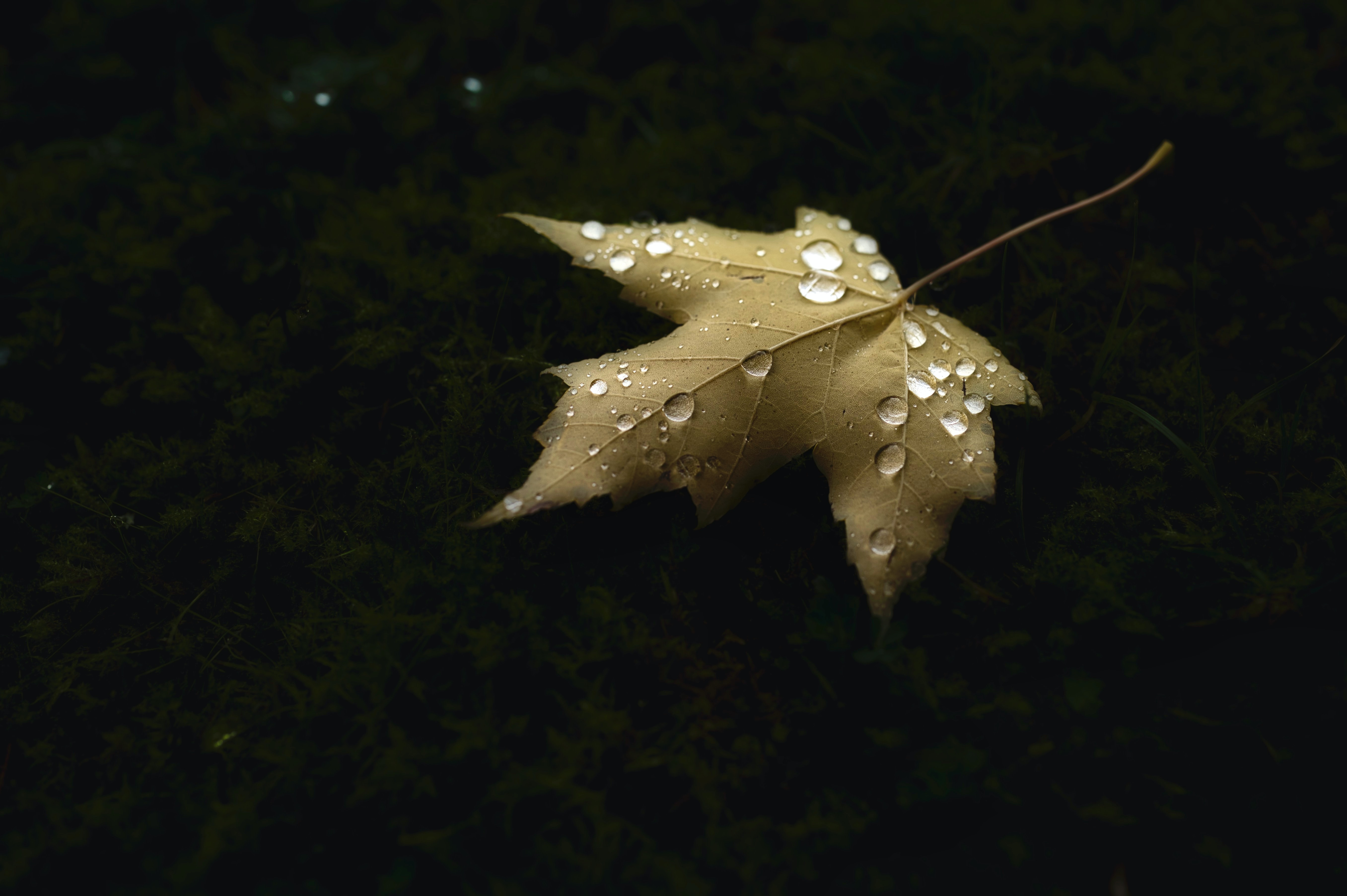 123151 download wallpaper Macro, Maple, Sheet, Leaf, Drops, Autumn screensavers and pictures for free