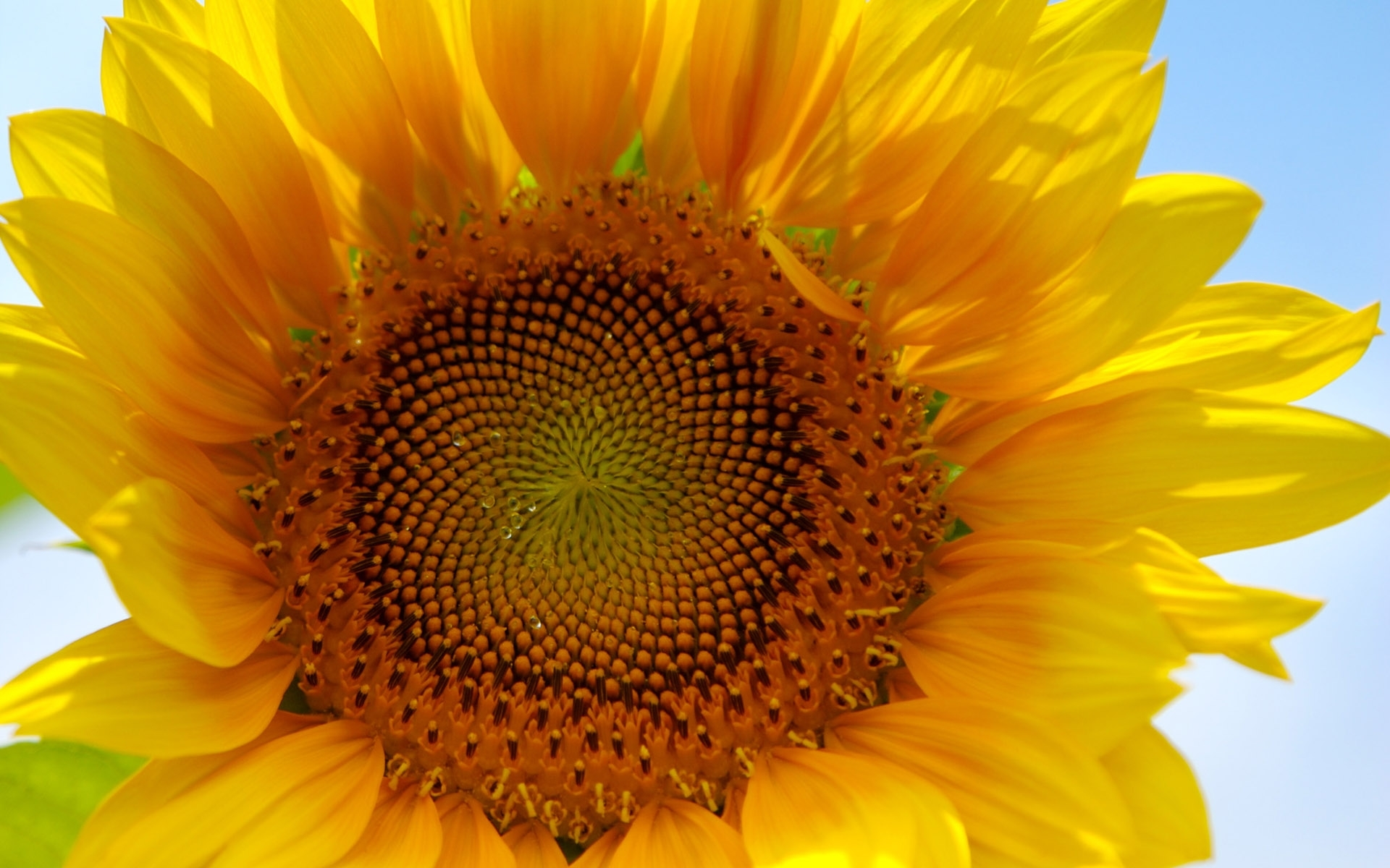 29593 免費下載壁紙 植物, 花卉, 向日葵 屏保和圖片