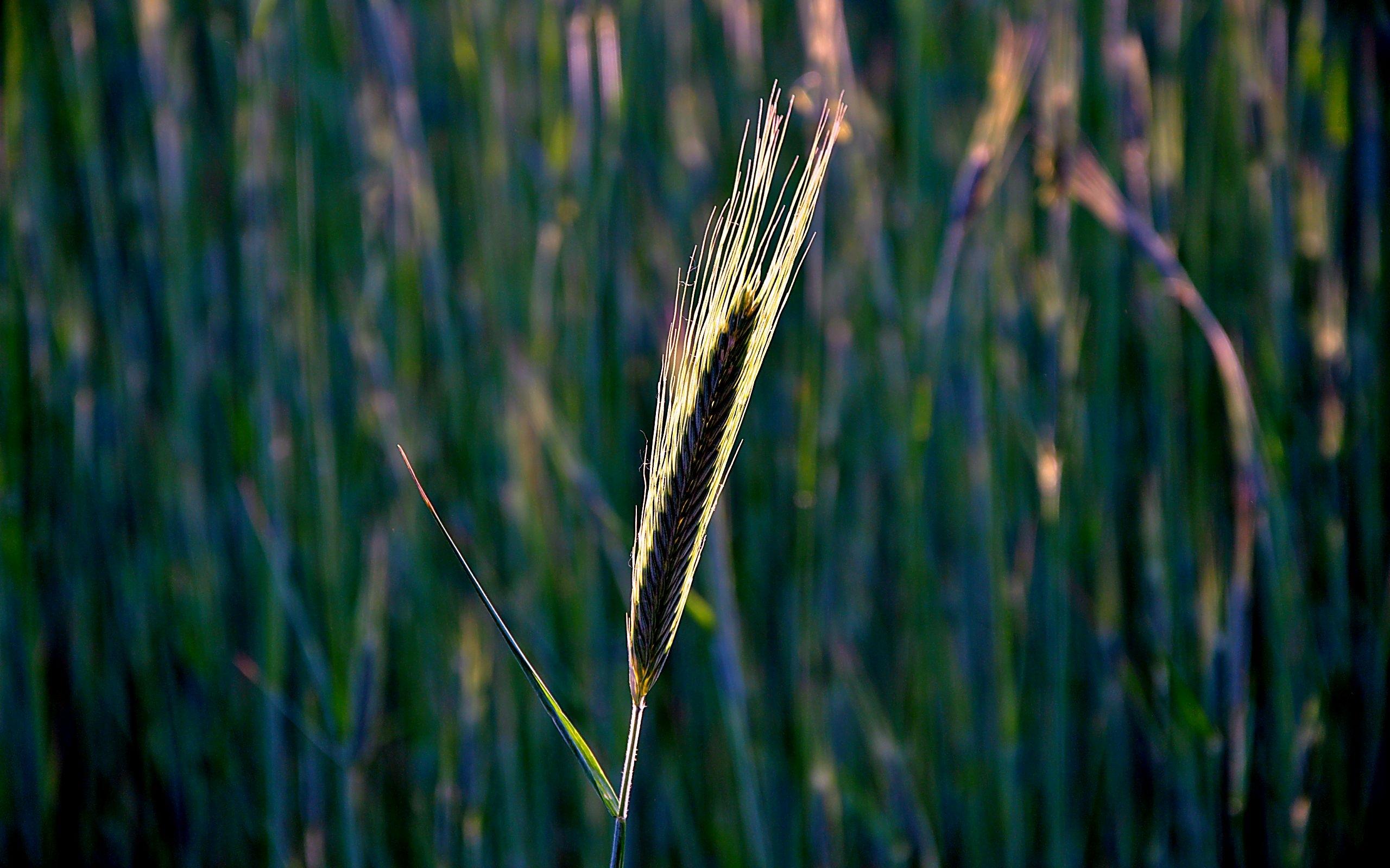 46686 скачать обои Растения, Объекты, Пшеница - заставки и картинки бесплатно