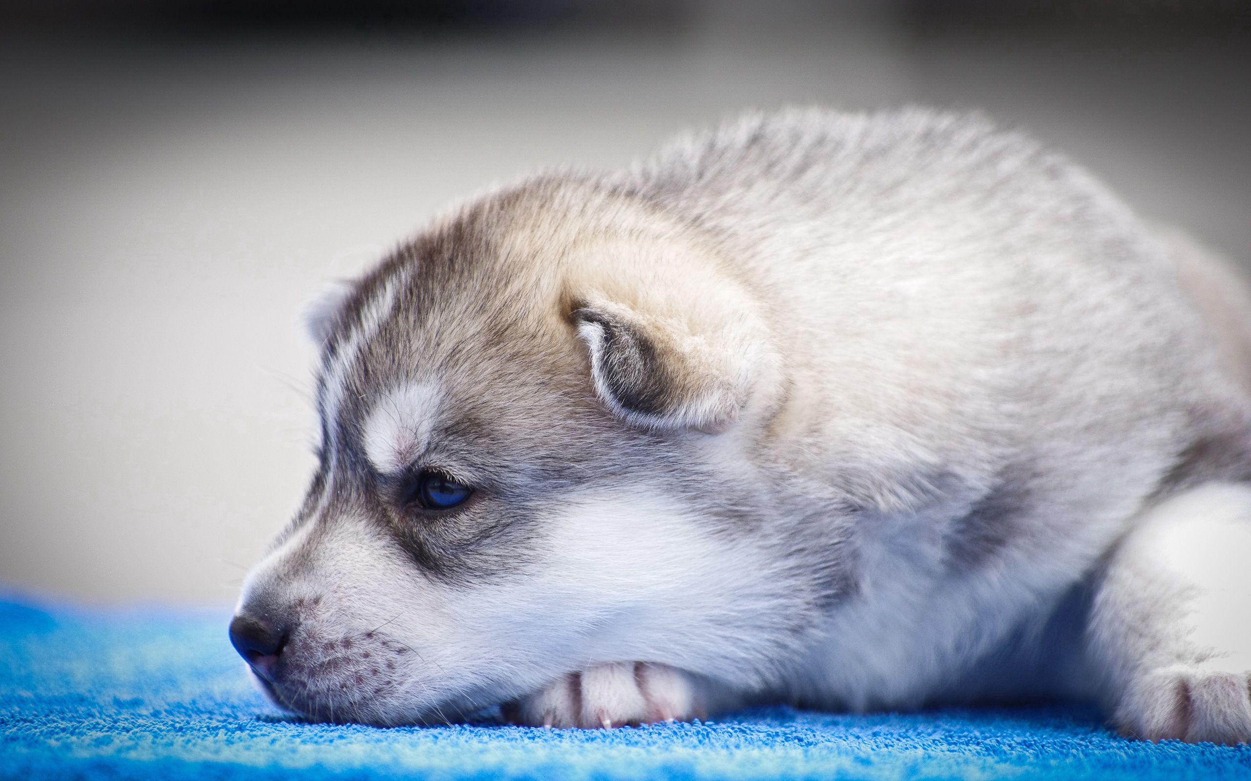 89550 Screensavers and Wallpapers Husky for phone. Download Husky, Animals, Muzzle, Puppy, Blue Eyed, Blue-Eyed pictures for free