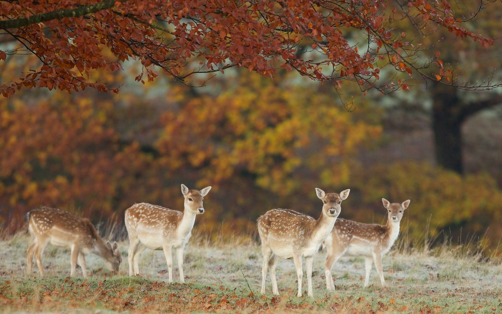 141243 download wallpaper Animals, Deers, Nature, Autumn, Leaves screensavers and pictures for free