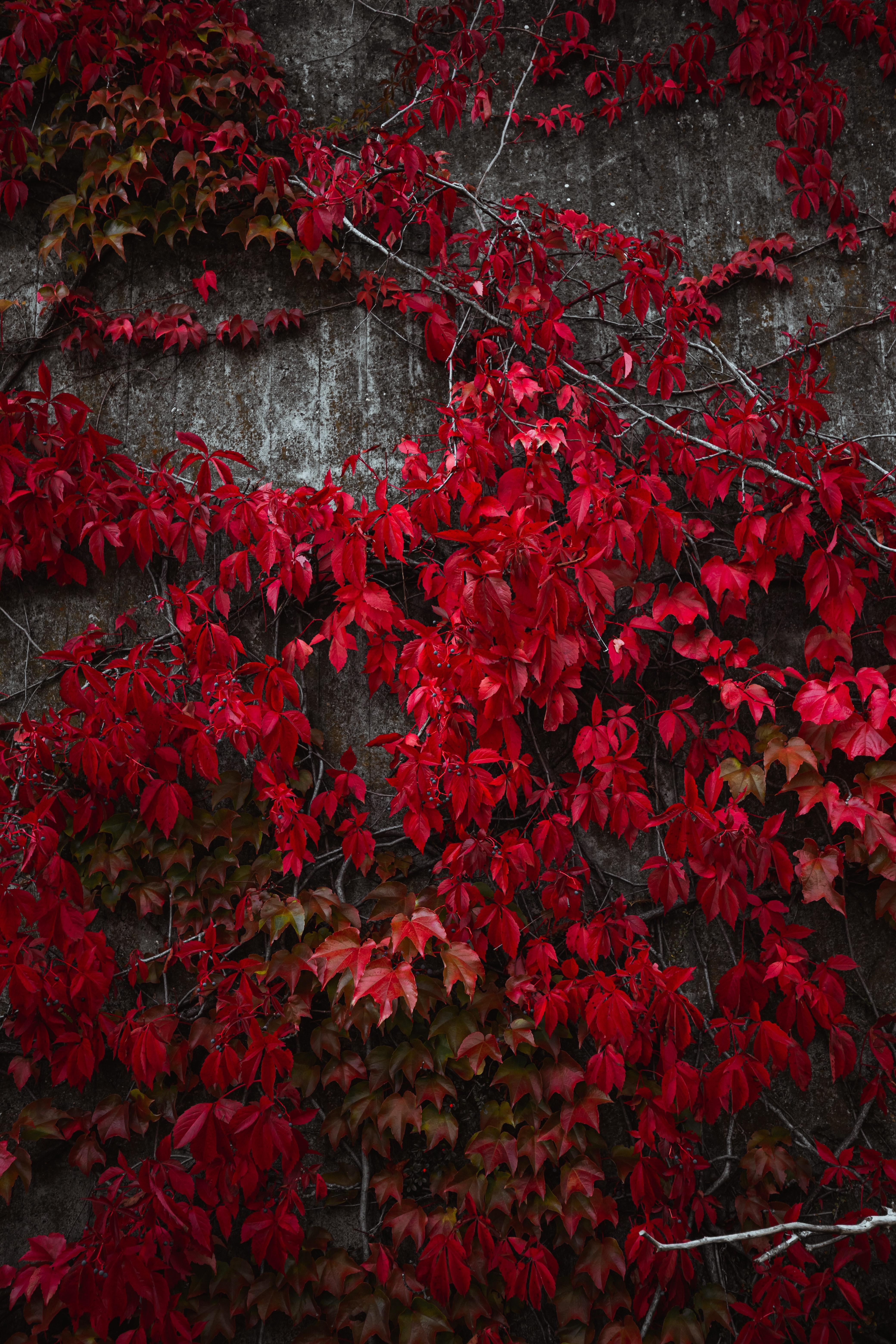 Laden Sie das kostenlose Hintergrundbild 106320: Herbst, Natur, Blätter, Pflanze, Efeu, Ivy Hintergrundbild für das Handy herunter