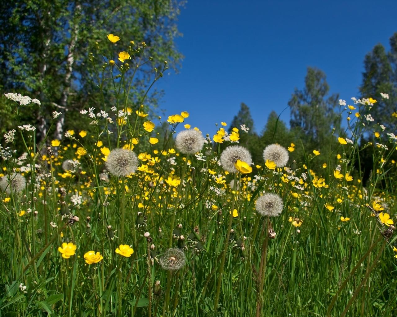 943 скачать обои Растения, Цветы, Трава, Одуванчики - заставки и картинки бесплатно