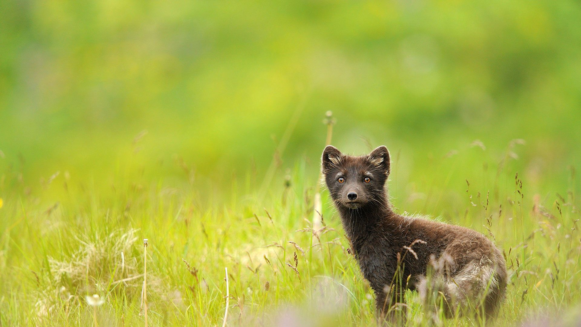 78402 download wallpaper Animals, Grass, Field, Dandelions, Sable, Eyes screensavers and pictures for free