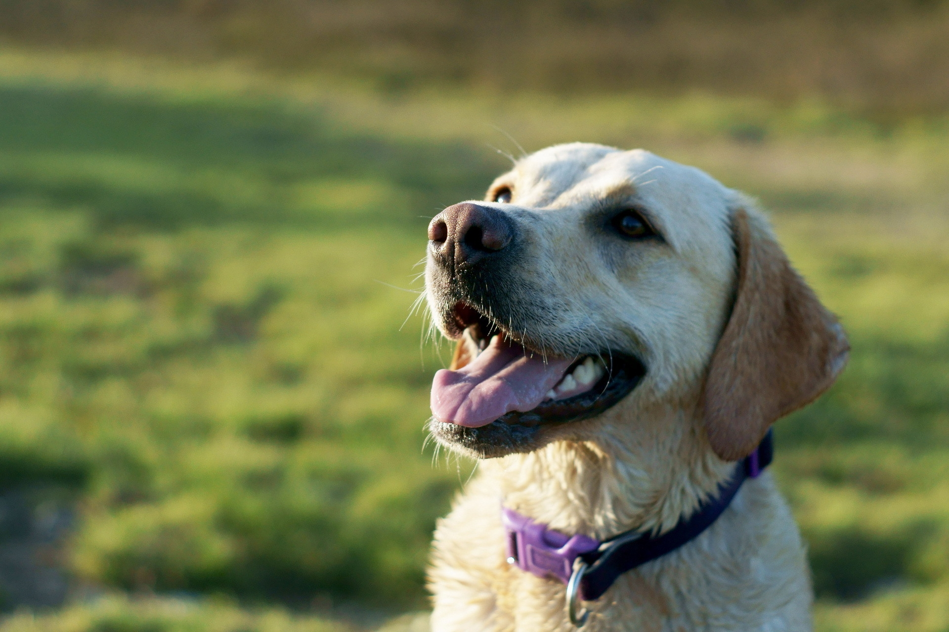 118449 download wallpaper Animals, Dog, Labrador, Collar, Muzzle screensavers and pictures for free