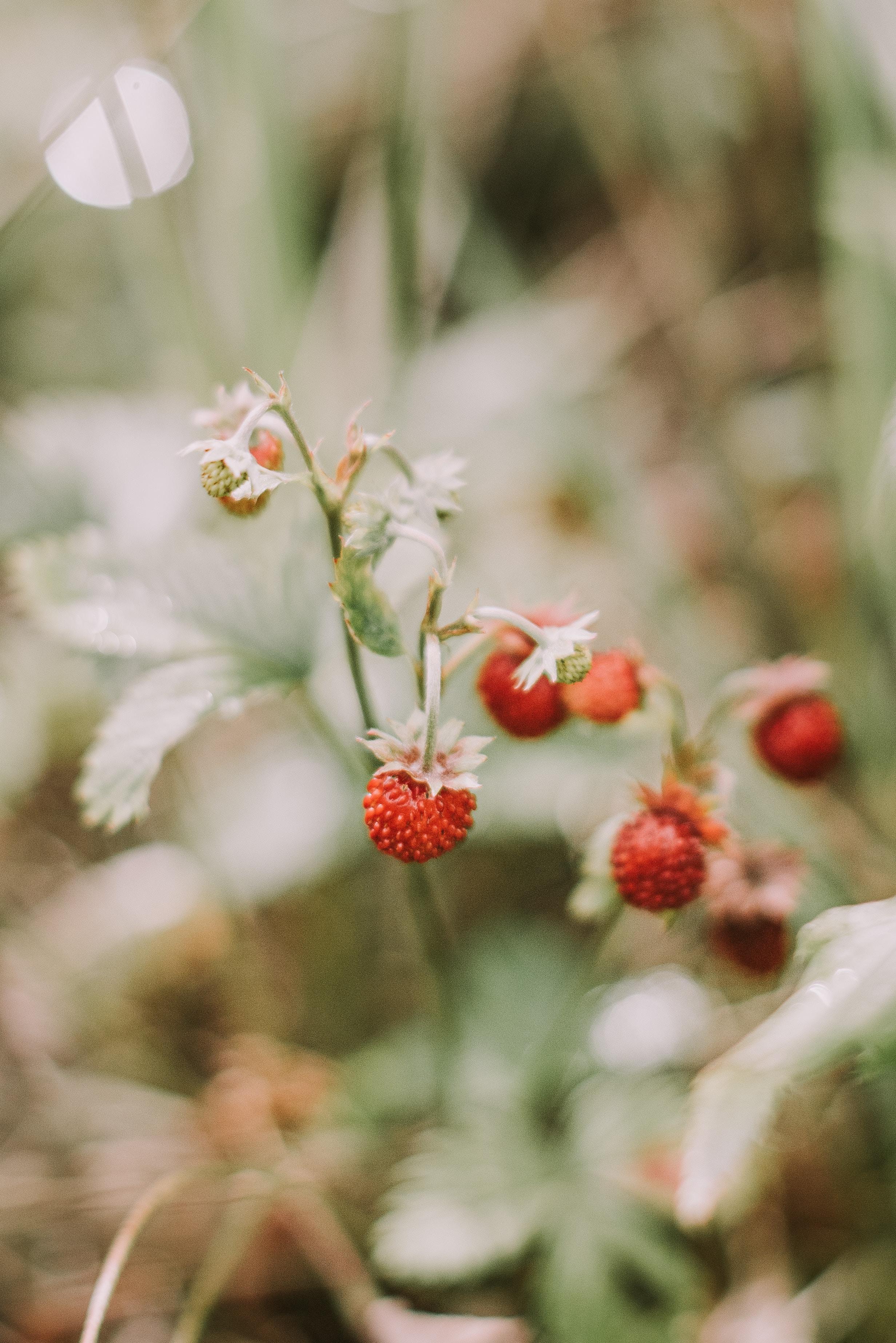 140233 Hintergrundbild 1024x600 kostenlos auf deinem Handy, lade Bilder Erdbeere, Berries, Makro, Reif, Wilde Erdbeeren 1024x600 auf dein Handy herunter