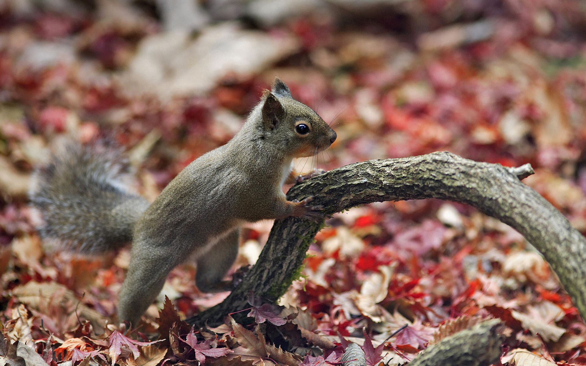153093 download wallpaper Animals, Squirrel, Autumn, Leaves, Animal screensavers and pictures for free