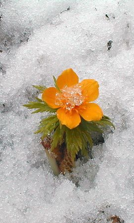 15817 descargar fondo de pantalla Plantas, Invierno, Flores, Nieve: protectores de pantalla e imágenes gratis