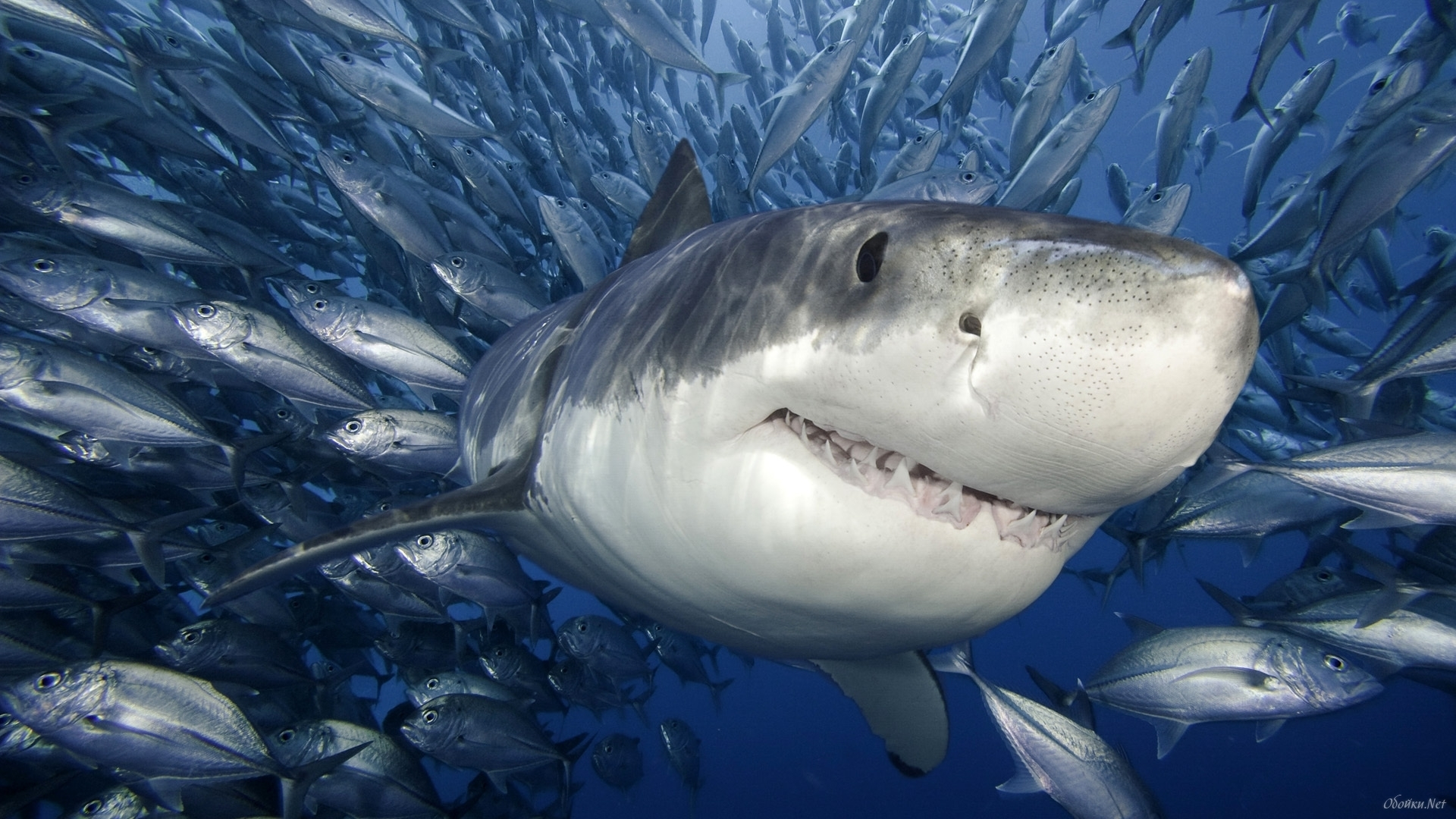 25820 download wallpaper Animals, Sea, Sharks, Fishes screensavers and pictures for free