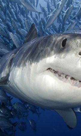 25820 baixar papel de parede Animais, Mar, Sharks, Peixes - protetores de tela e imagens gratuitamente