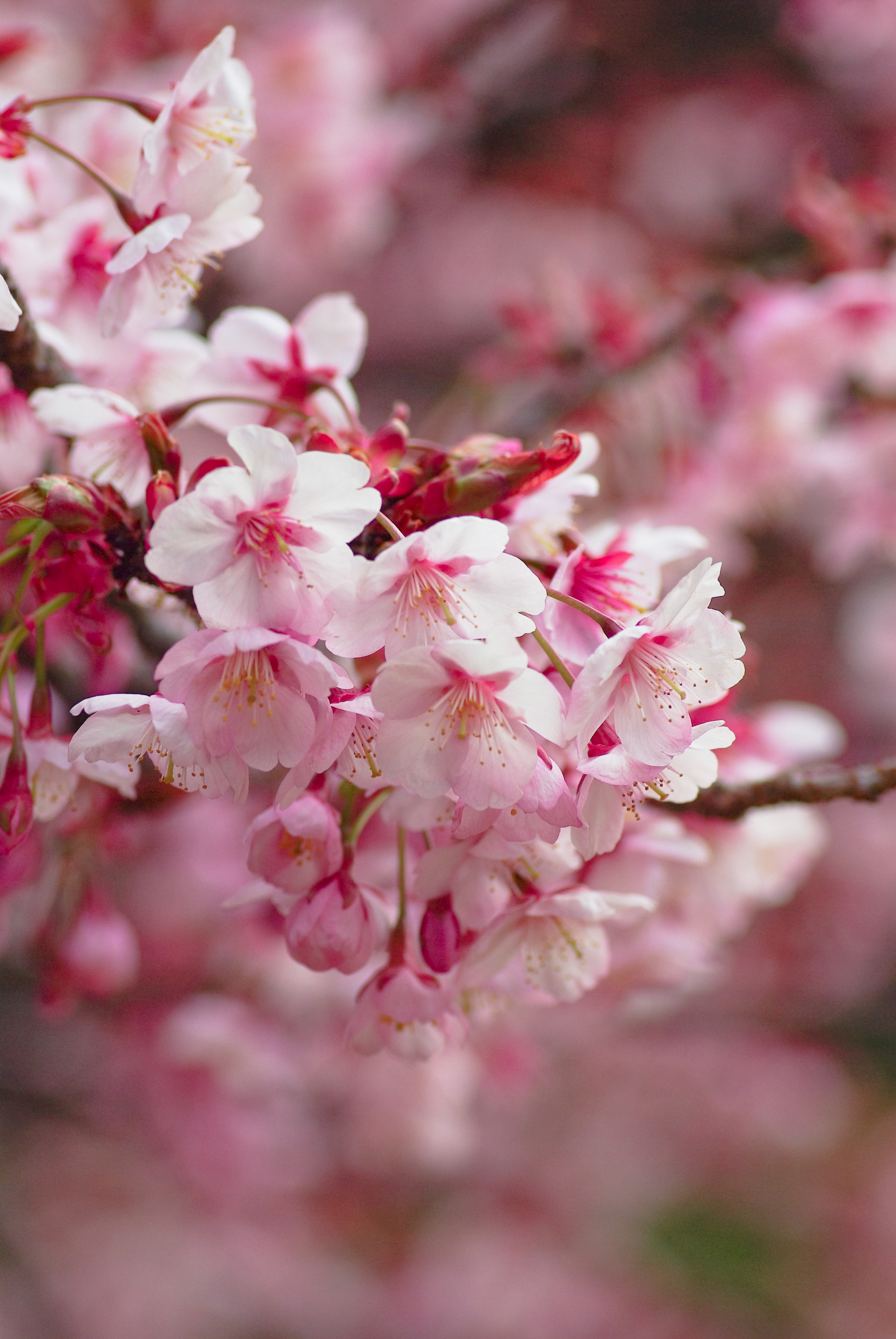 51428 Screensavers and Wallpapers Sakura for phone. Download Flowers, Sakura, Blur, Smooth, Bloom, Flowering, Branch pictures for free