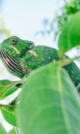 Скачать бесплатно картинку 131053: Животные, Хамелеон, Ящерица, Ветки, Листья, Зеленый обои на телефон