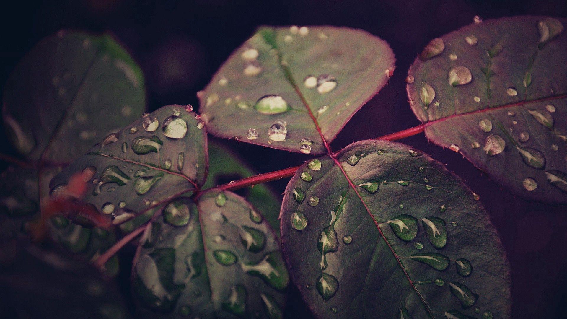59704 скачать обои Макро, Листья, Растение, Капли, Роса - заставки и картинки бесплатно