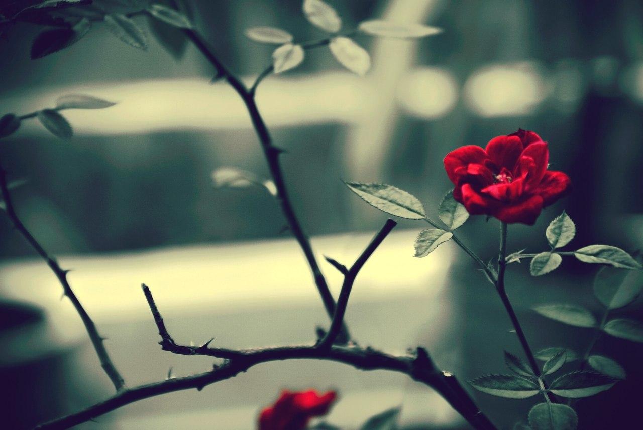 17229 скачать обои Растения, Цветы, Розы - заставки и картинки бесплатно