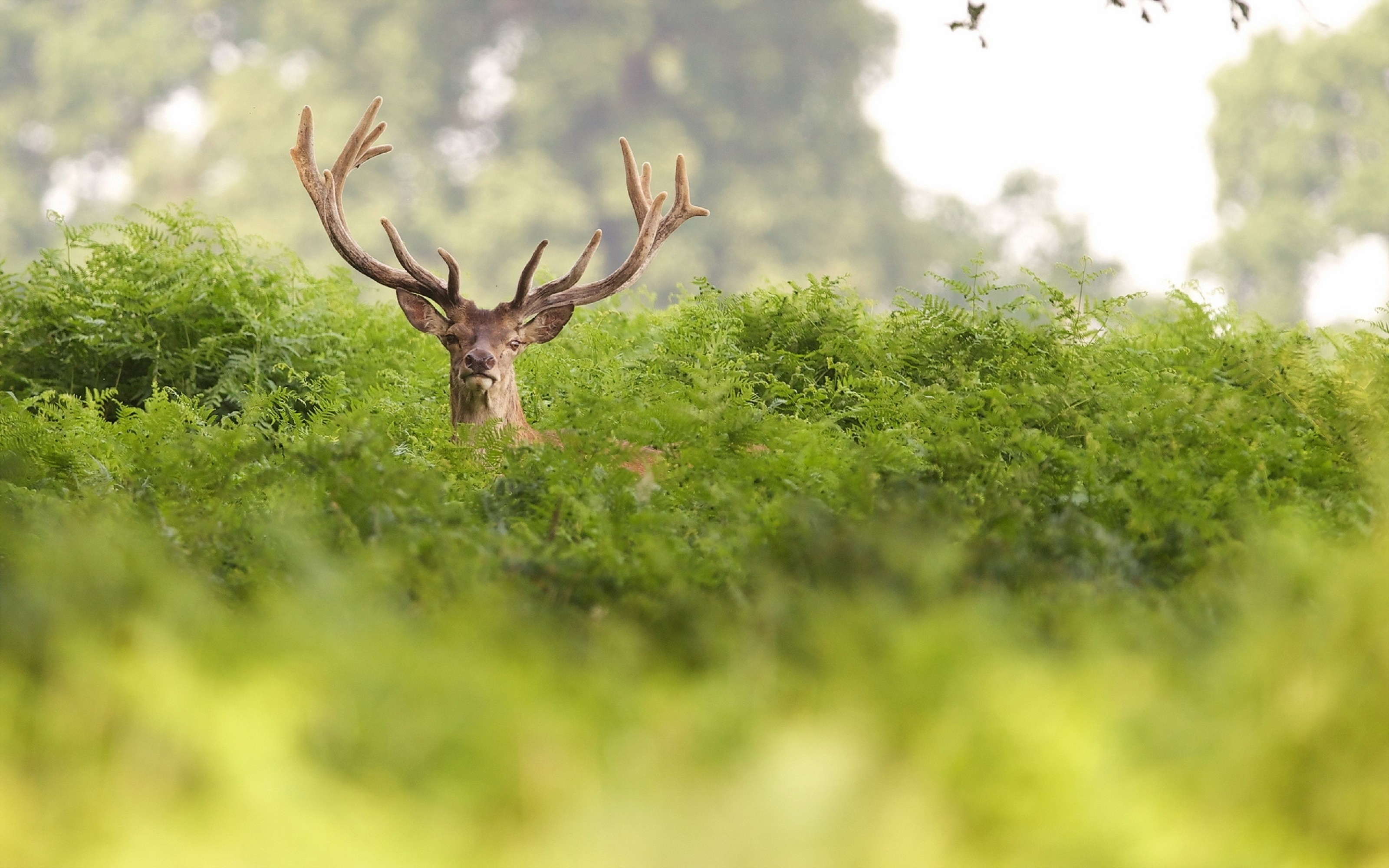125157 download wallpaper Animals, Grass, Hide, Deer, Horns screensavers and pictures for free