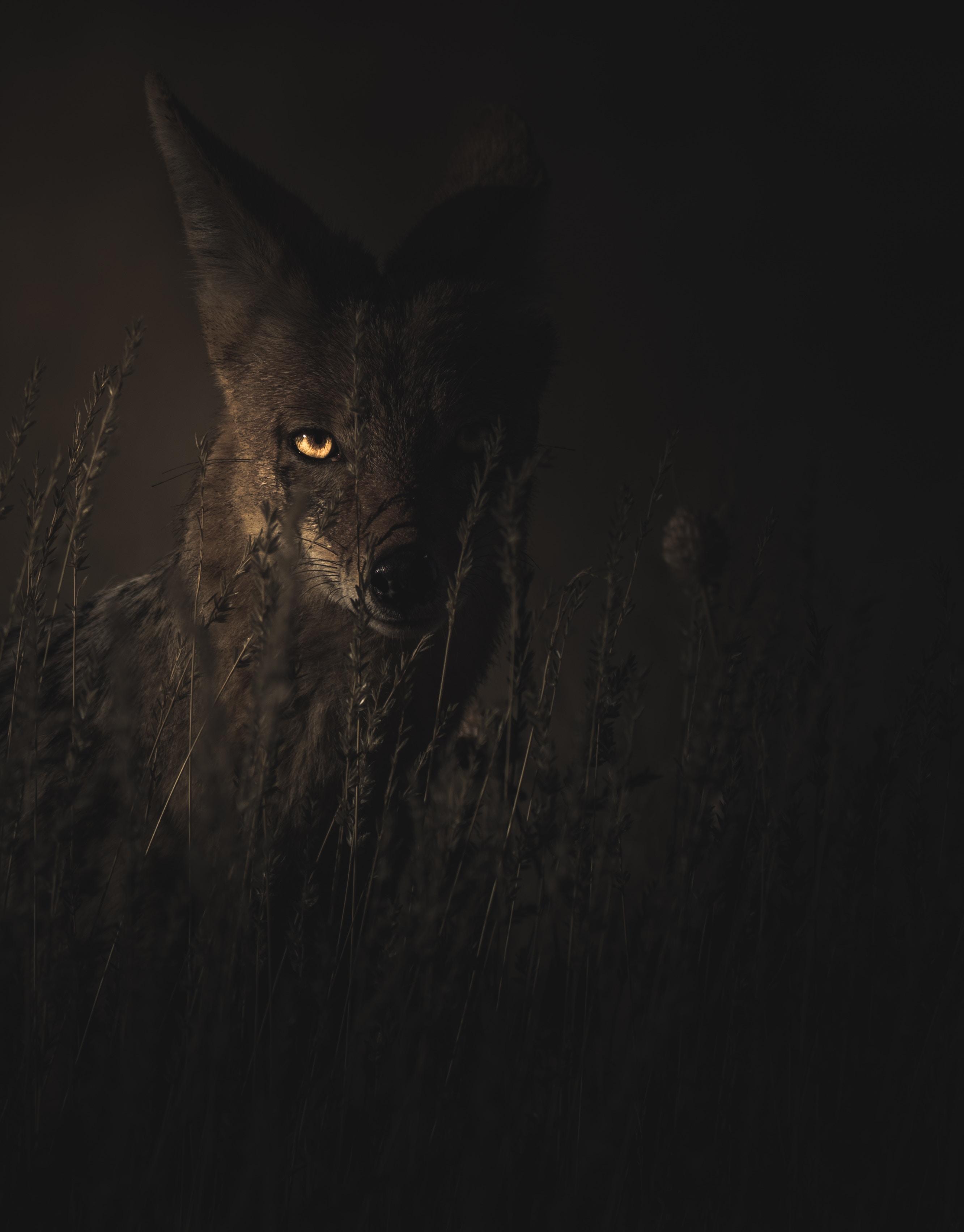 100246 скачать обои Животные, Шакал, Трава, Темный, Хищник, Взгляд - заставки и картинки бесплатно