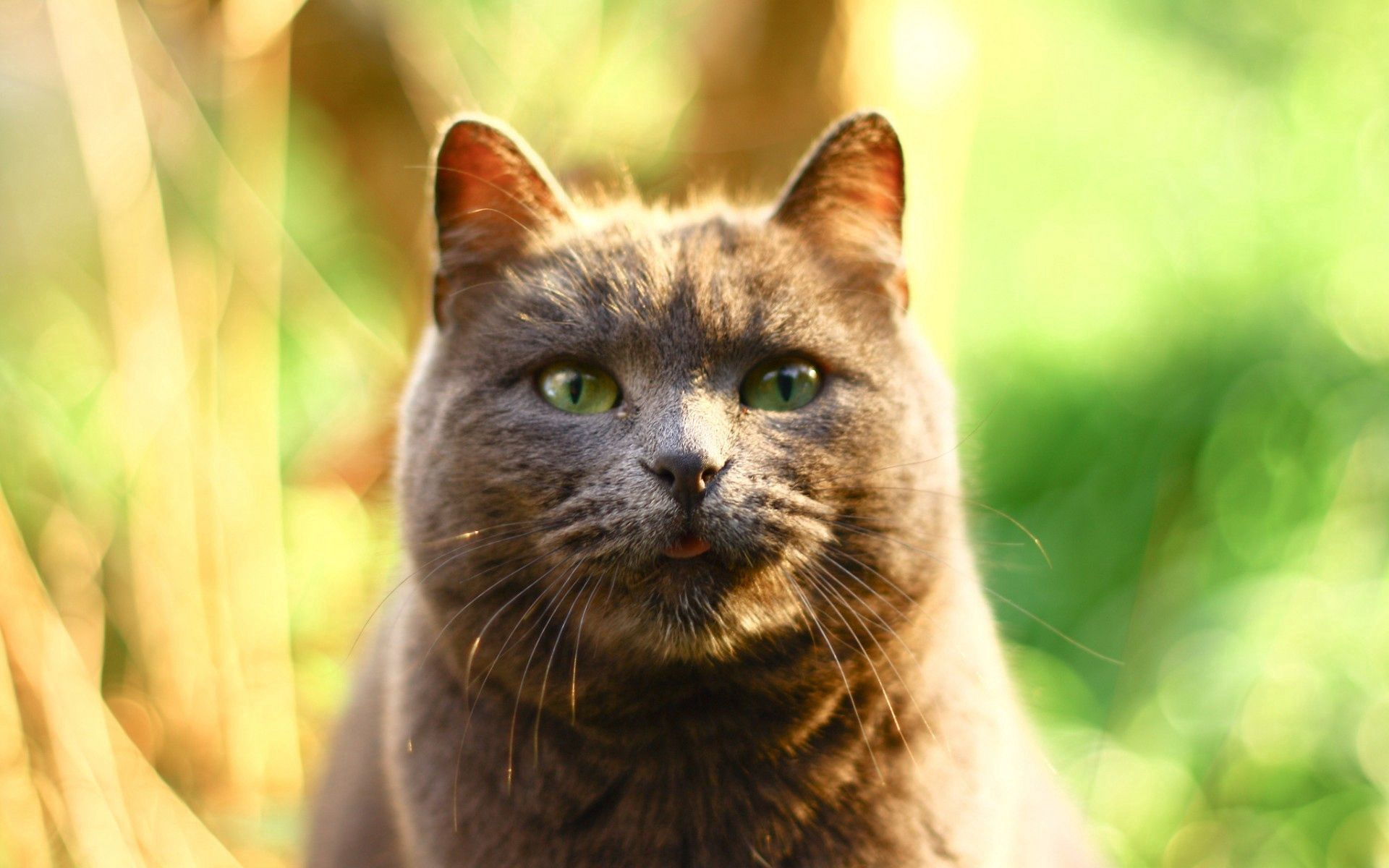 138862 Screensavers and Wallpapers Beautiful for phone. Download Animals, Cat, Muzzle, Beautiful, Sight, Opinion, Fat, Thick pictures for free