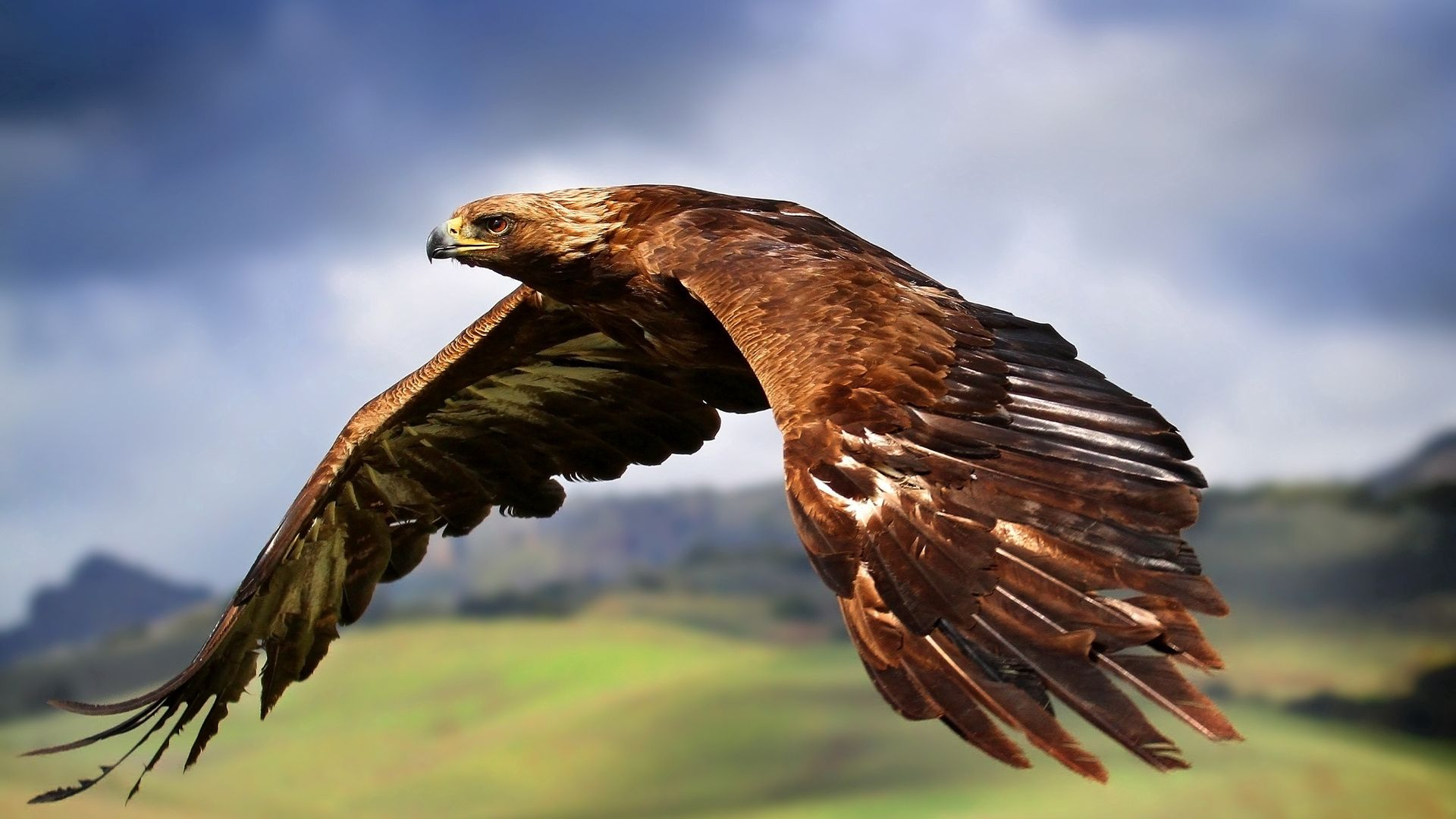 51424 Screensavers and Wallpapers Bird for phone. Download Animals, Sky, Bird, Predator, Flight, Eagle pictures for free