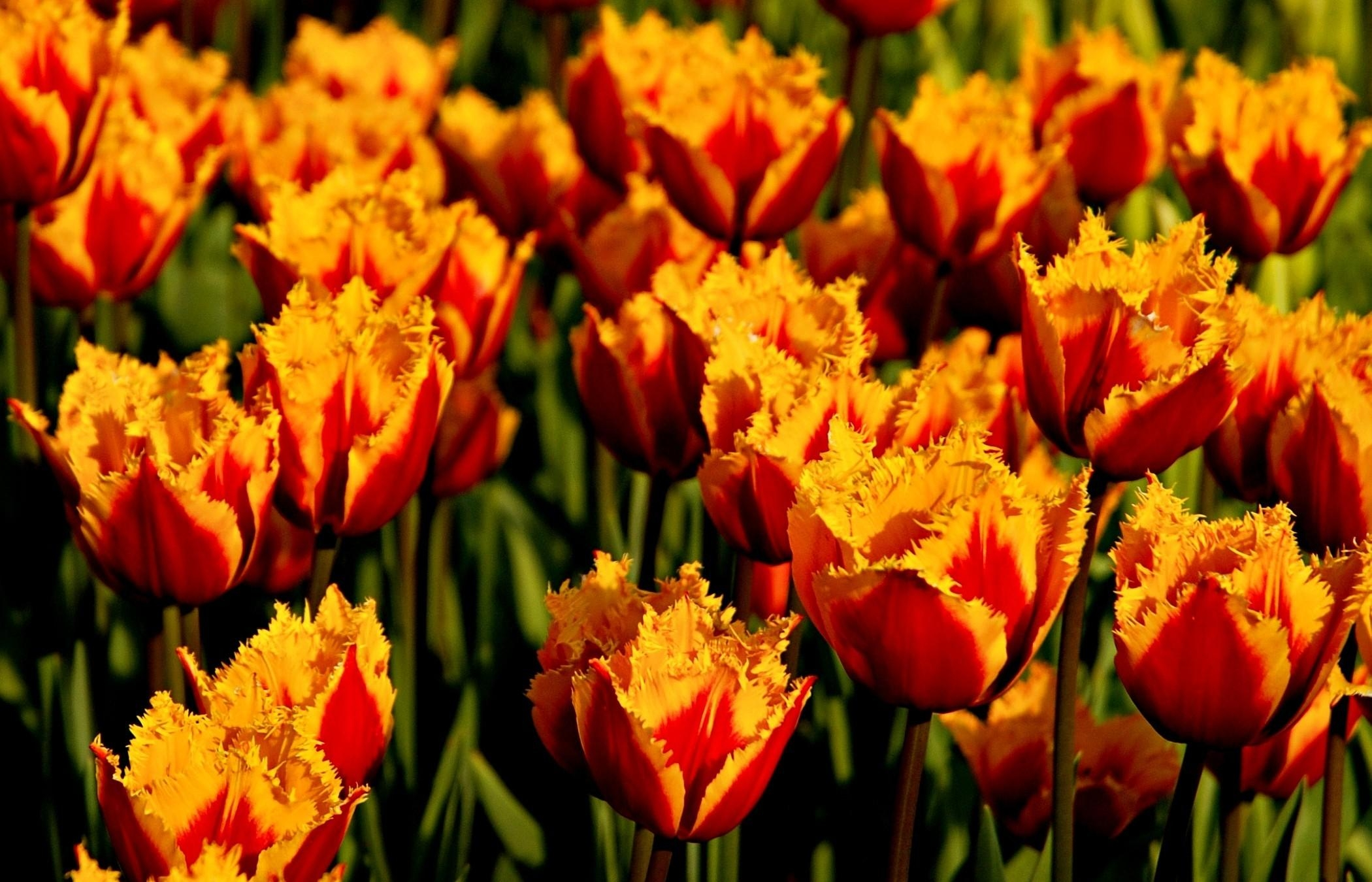 119915 Screensavers and Wallpapers Flower Bed for phone. Download Flowers, Tulips, Close-Up, Flower Bed, Flowerbed, Bicolor, Two-Colored, Terry pictures for free