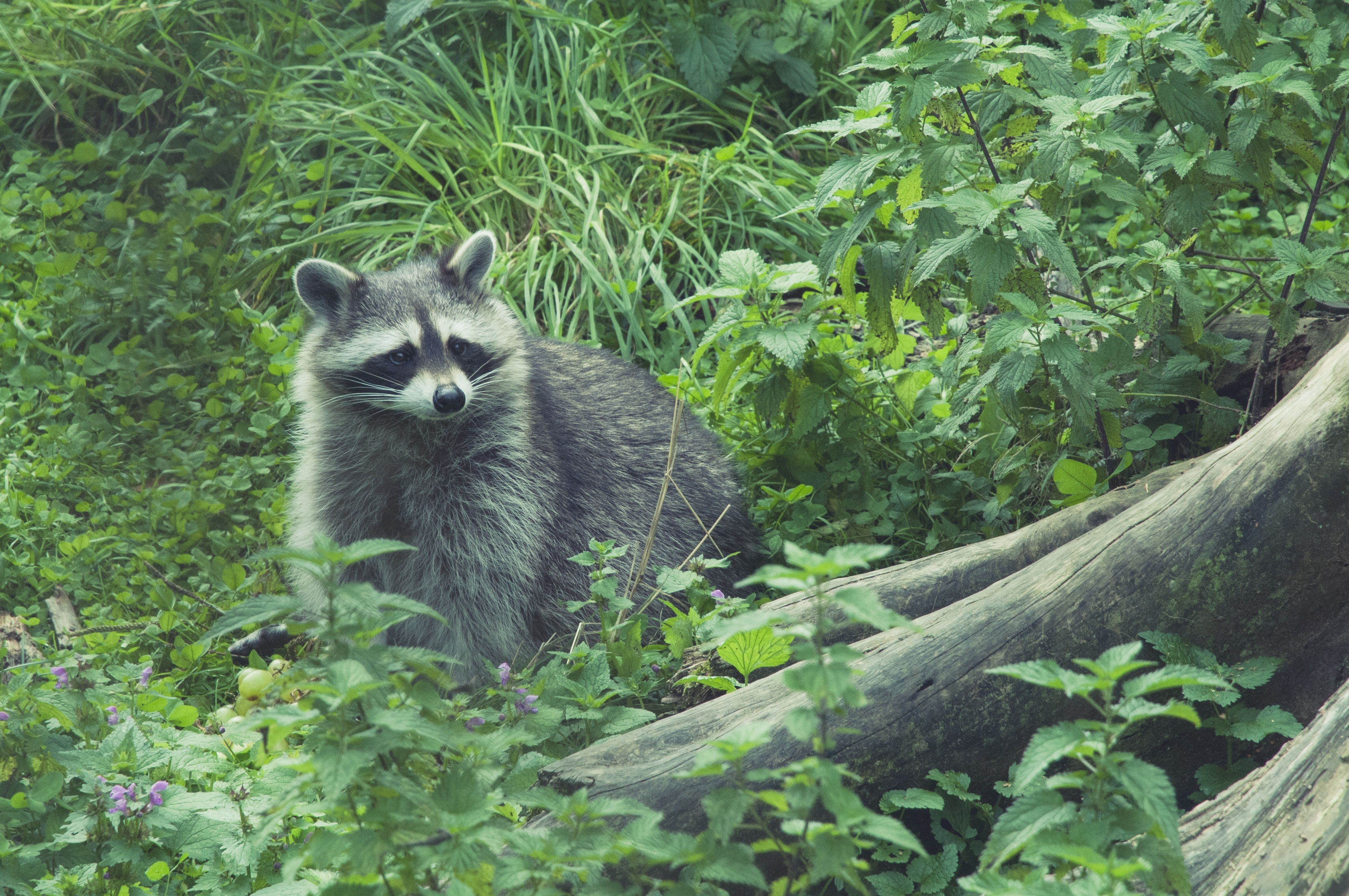 57100 Screensavers and Wallpapers Raccoon for phone. Download Animals, Grass, Forest, Raccoon pictures for free