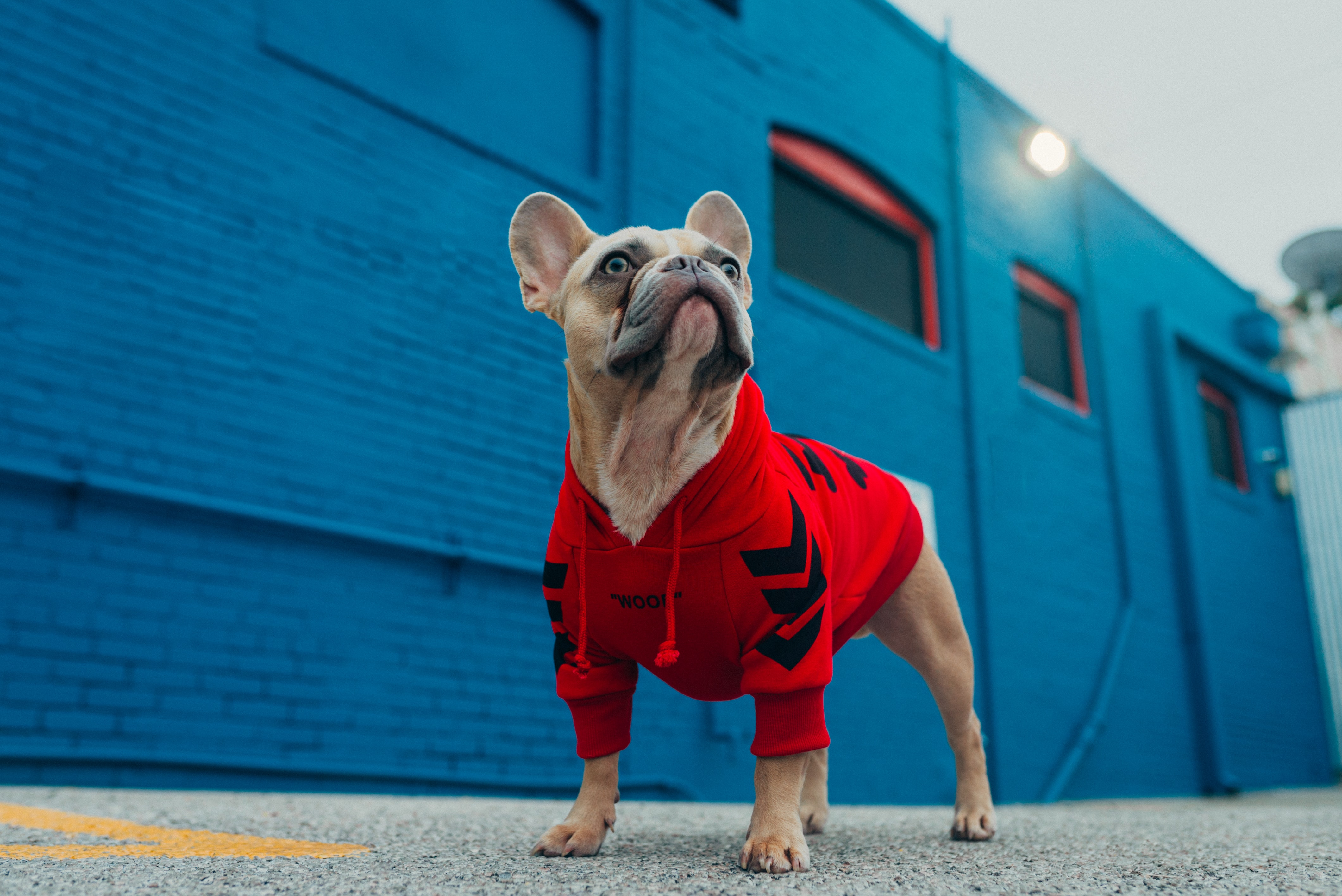 131122 download wallpaper Animals, Pug, Pet, Dog, Funny screensavers and pictures for free