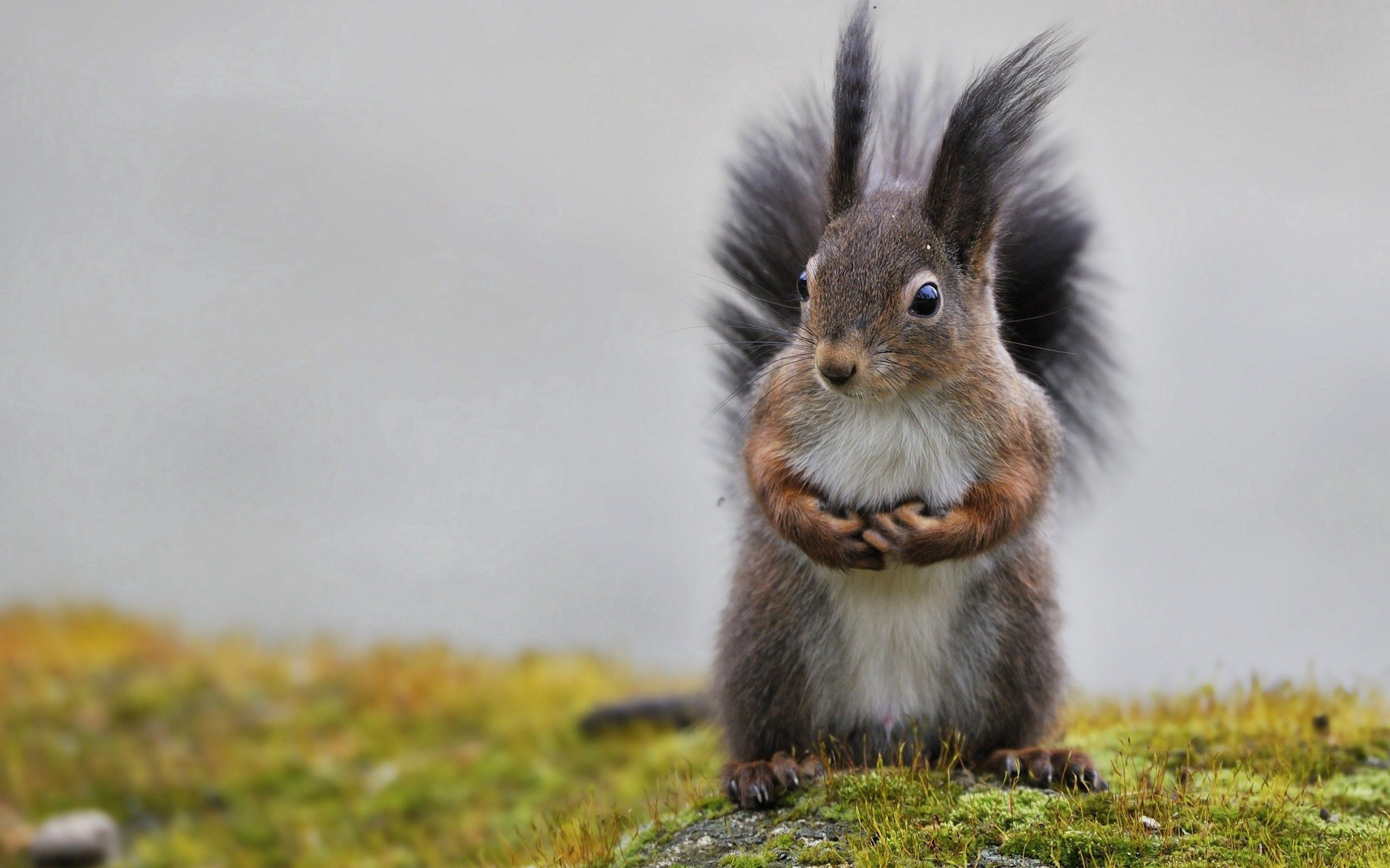 114702 Screensavers and Wallpapers Squirrel for phone. Download Animals, Squirrel, Grass, Animal, Fluffy Tail pictures for free