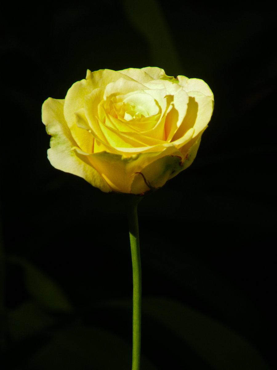 15463 descargar fondo de pantalla Plantas, Flores, Roses: protectores de pantalla e imágenes gratis
