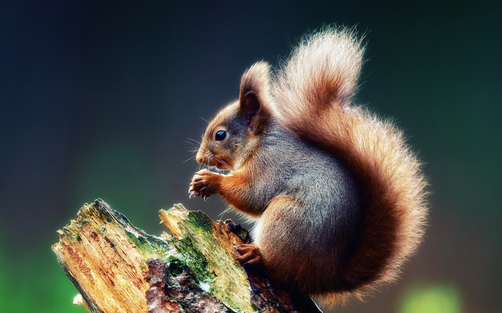 41230 download wallpaper Animals, Squirrel screensavers and pictures for free