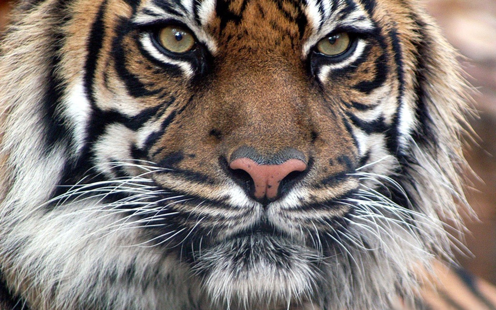 146976 download wallpaper Animals, Tiger, Fur, Muzzle, Eyes, Sight, Opinion, Predatory screensavers and pictures for free