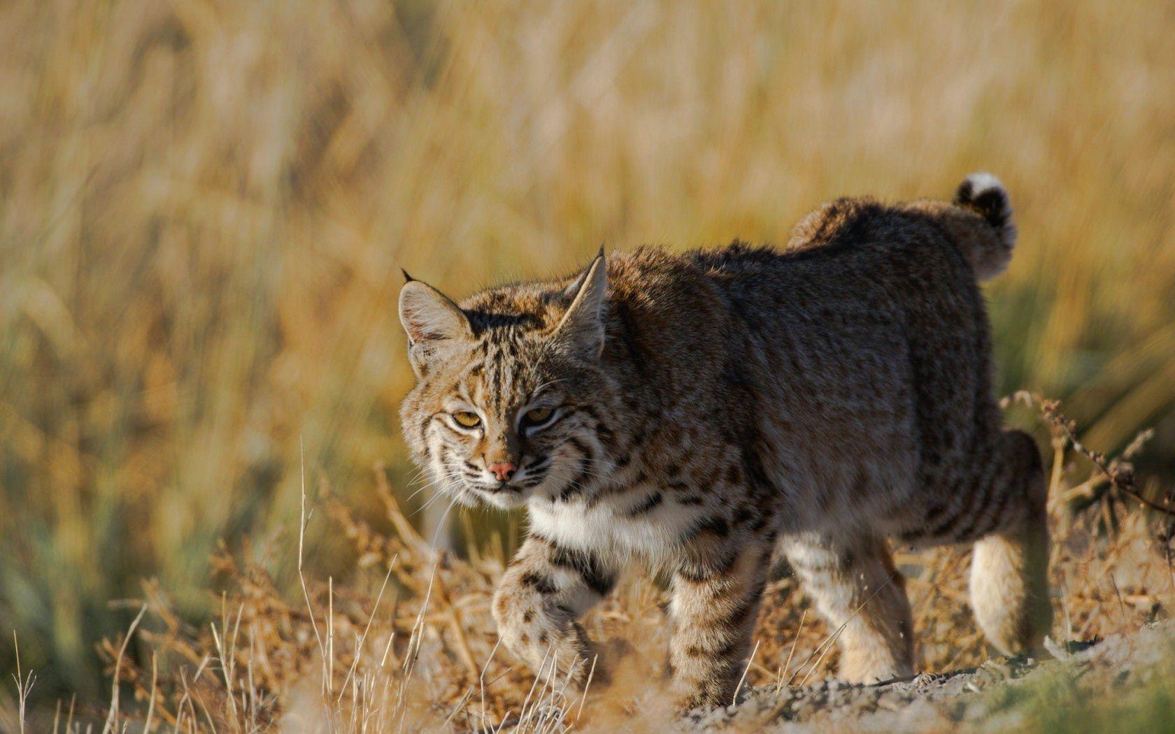 78273 download wallpaper Animals, Grass, Iris, Predator, Wild Cat, Wildcat screensavers and pictures for free